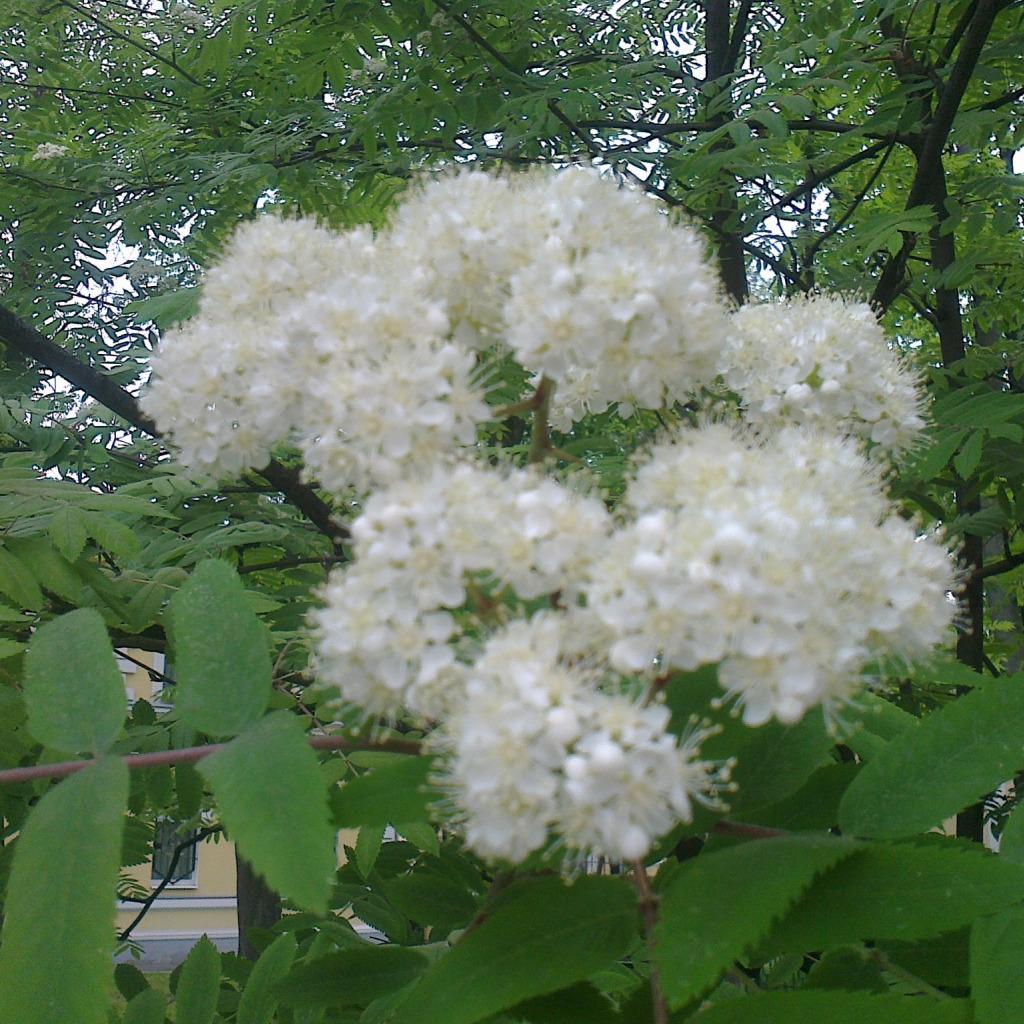 Пушистые белые цветы