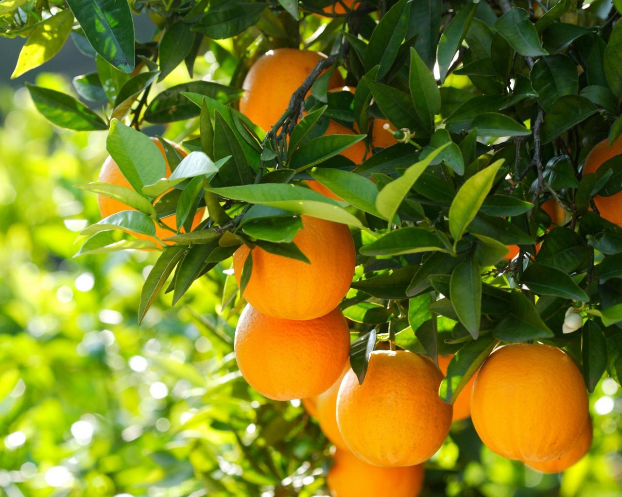 Апельсин дерево картинки