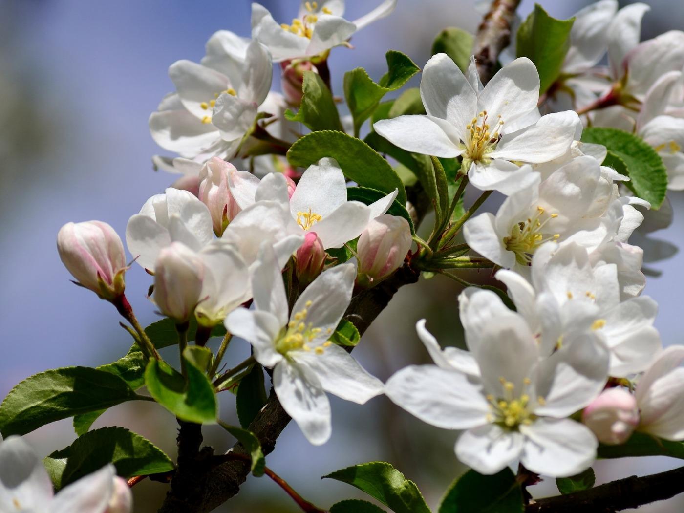 Картинках, картинки цветы яблони большое разрешение