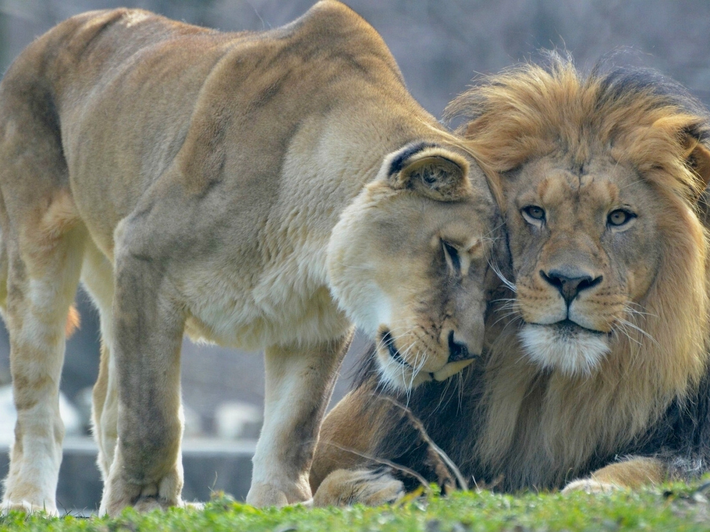 лев любит львицу картинки гиацинты