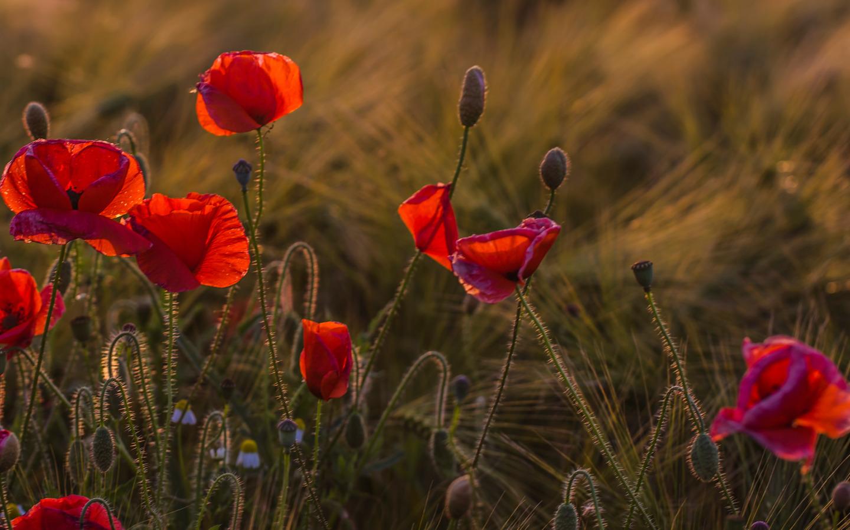 поле маки цветы  № 1877325 бесплатно
