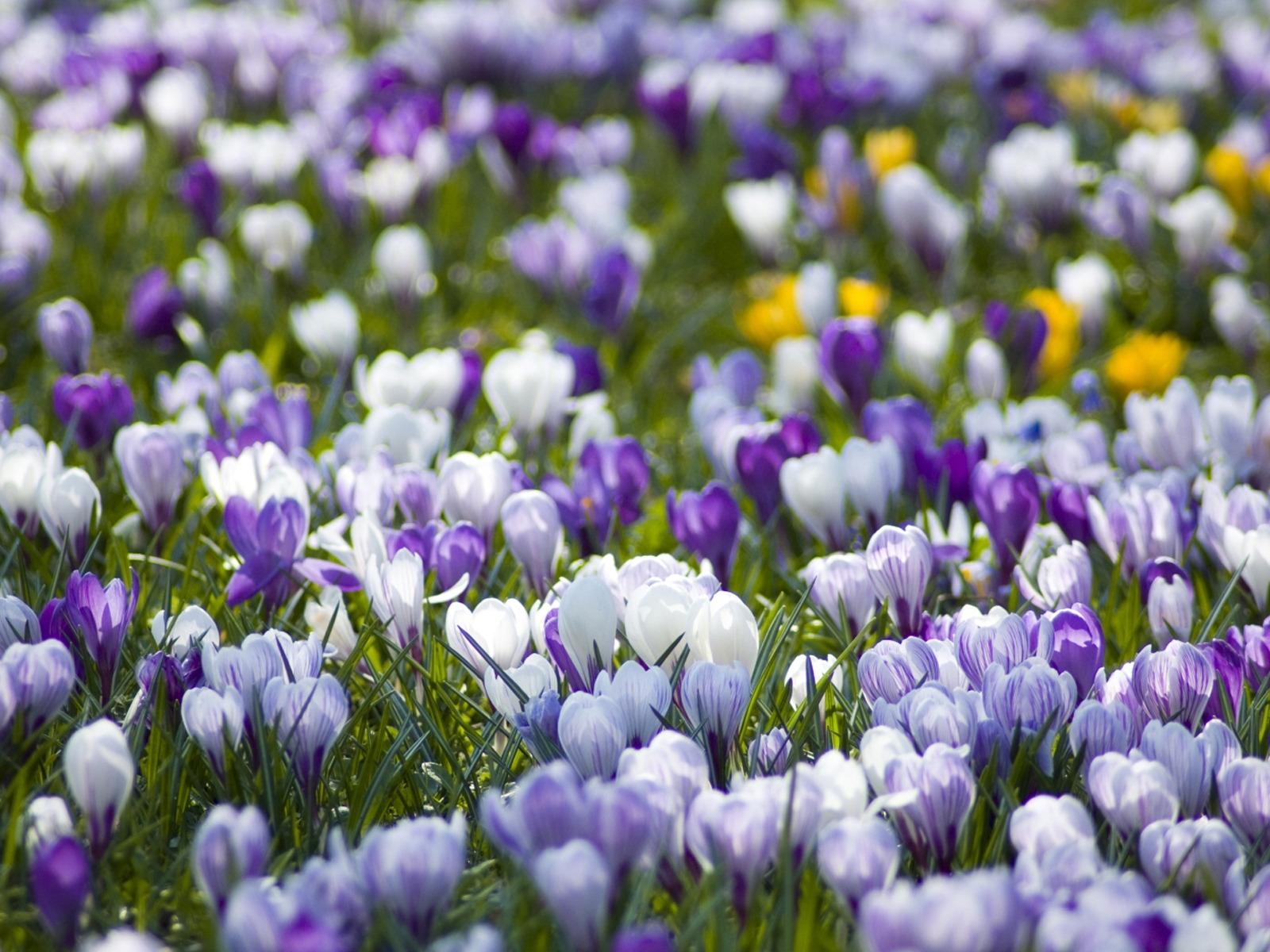 Картинки весенний цветы