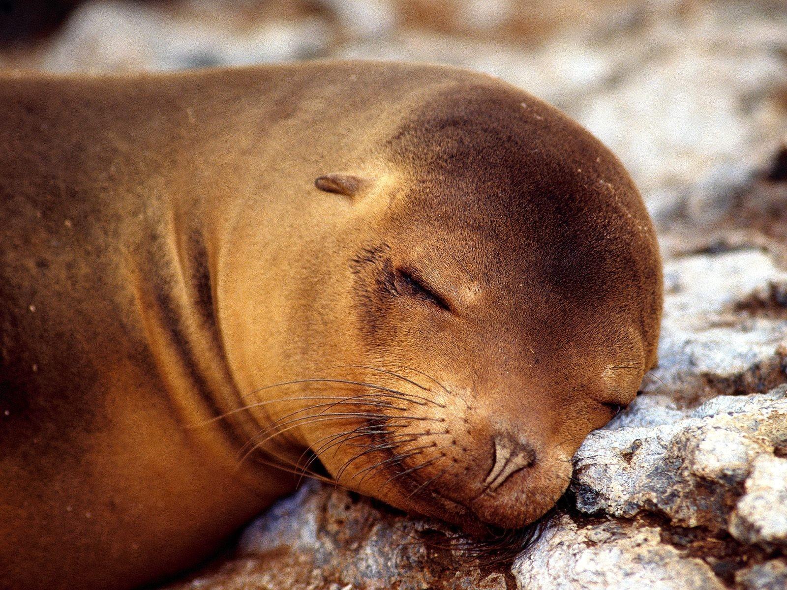 Как выглядит тюлень картинка