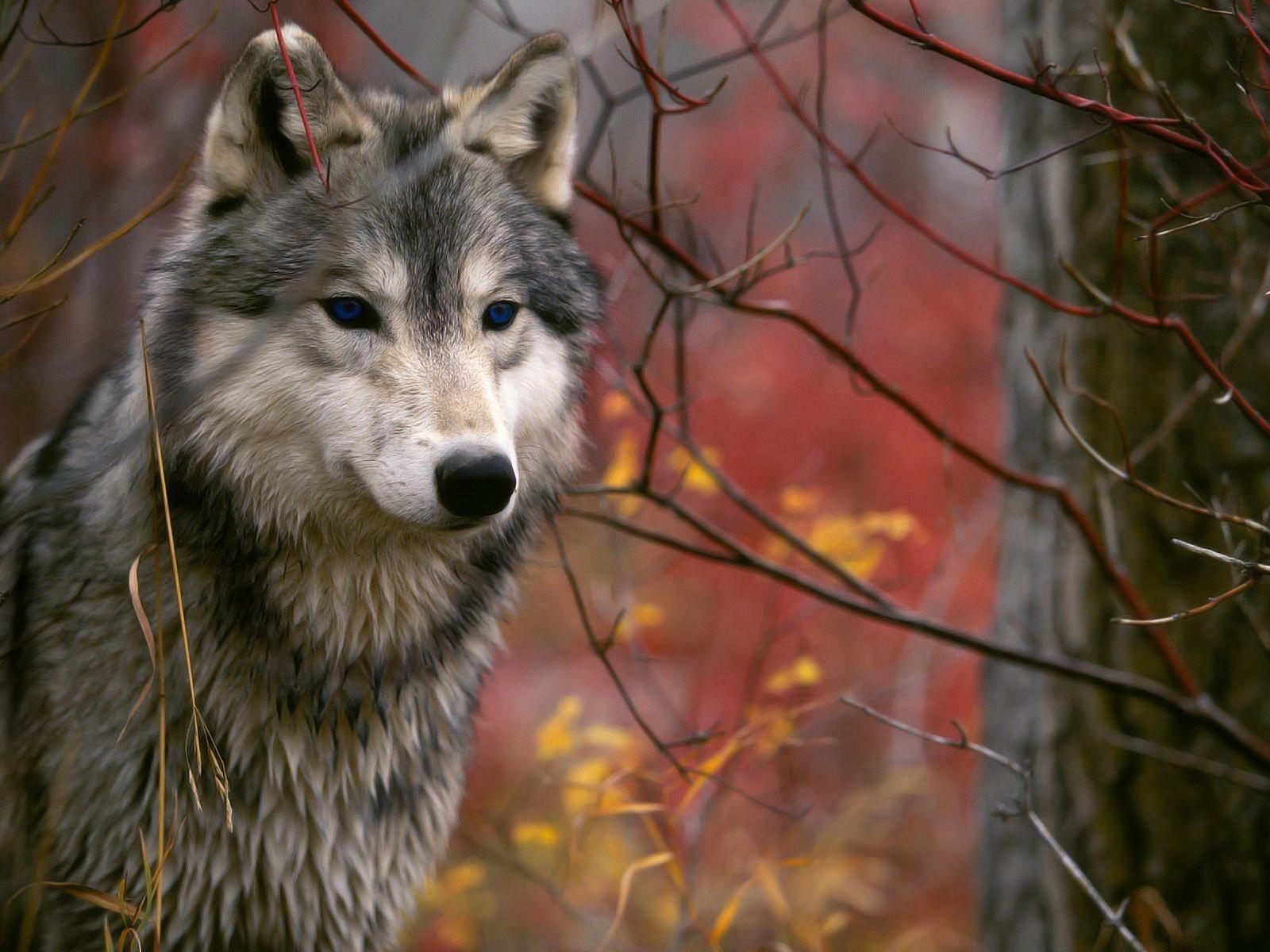 Волки фото картинки красивые, открыток днем рождения