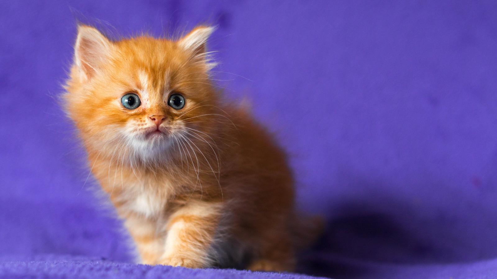 Голубоглазые кота  № 3010610 загрузить