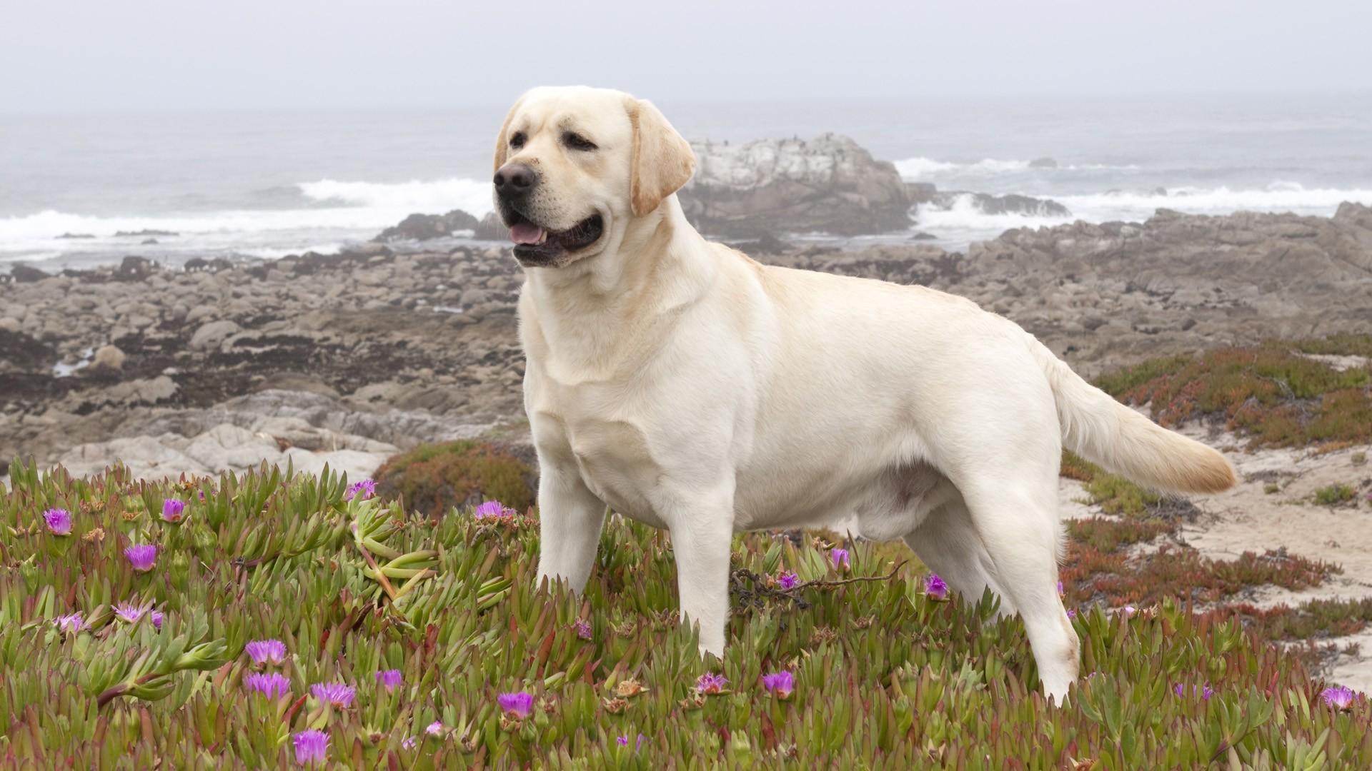 Картинки лабрадор собака