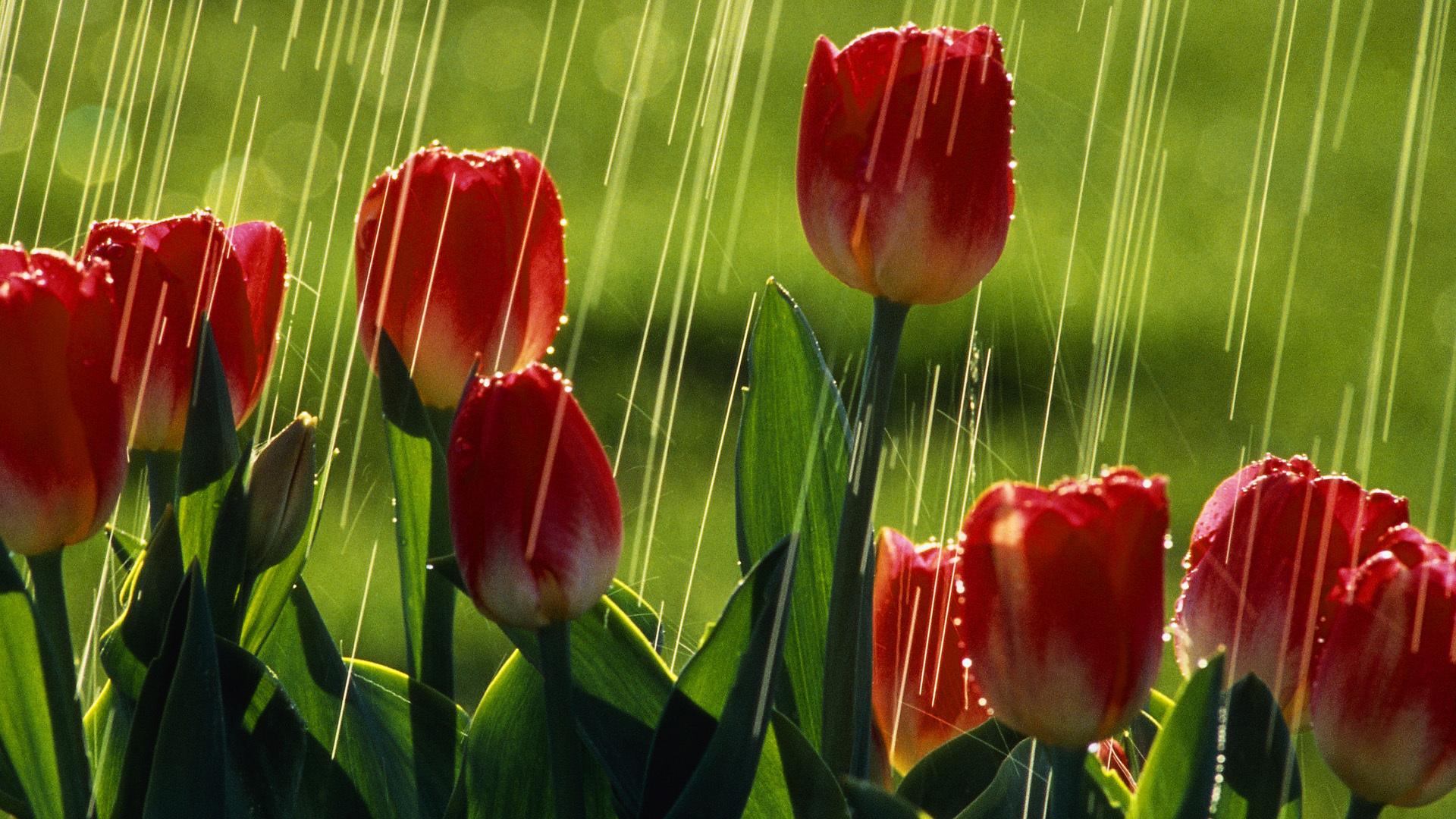 разве что тюльпаны после дождя фото высокого разрешения действительности ними