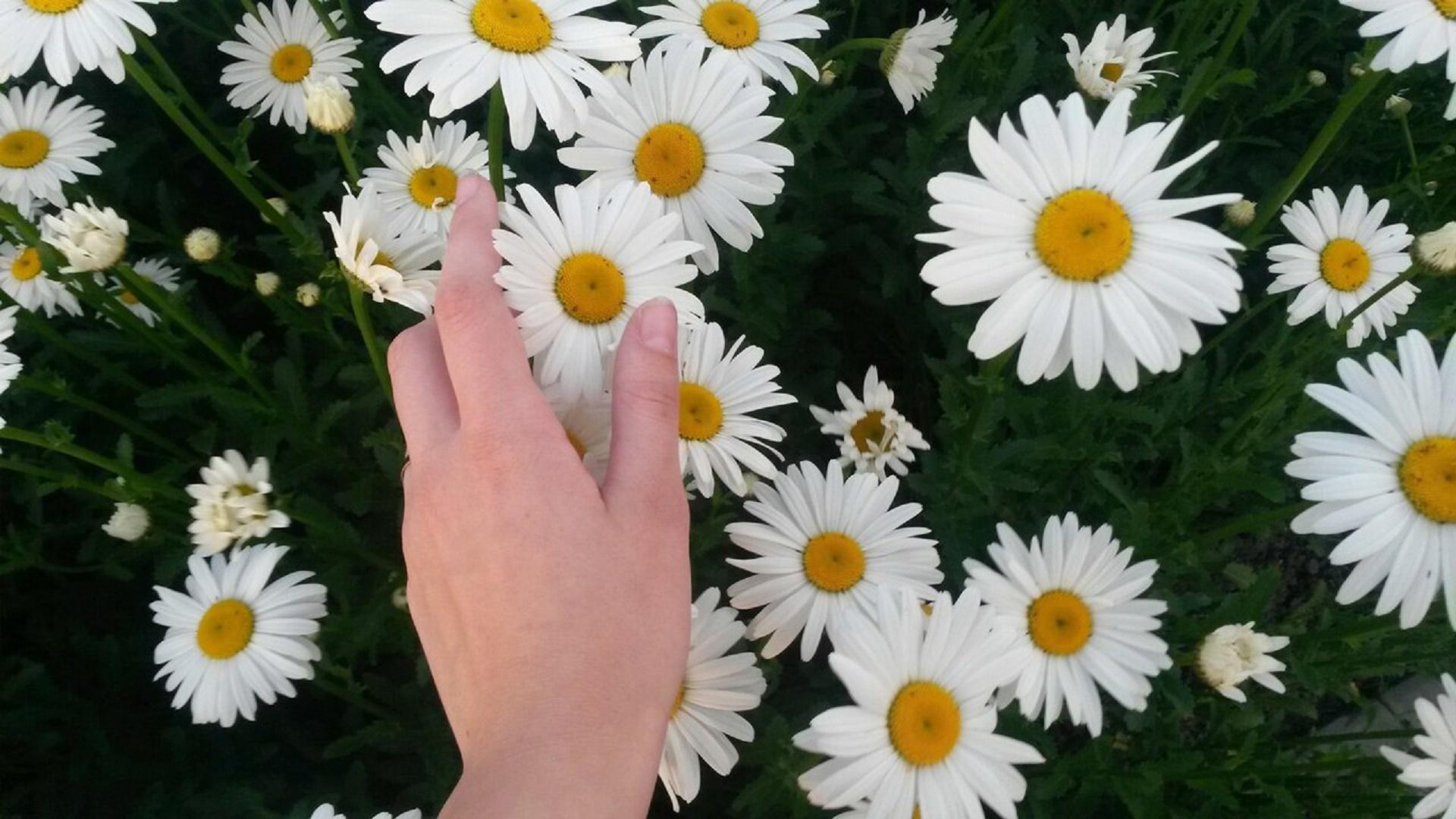Ромашки букет в руках