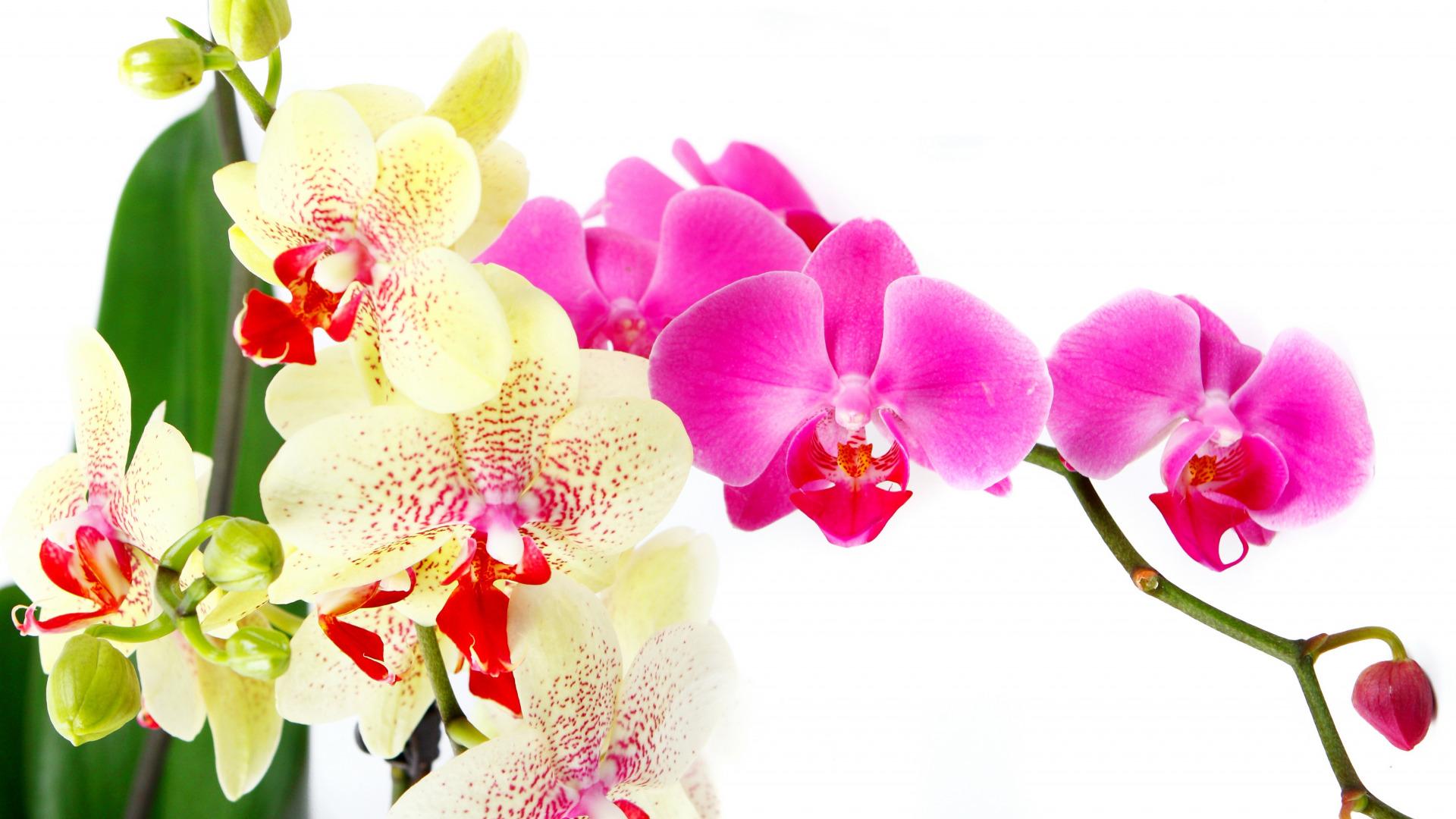 женщины сыграли картинки для рабочего стола цветы орхидеи финале