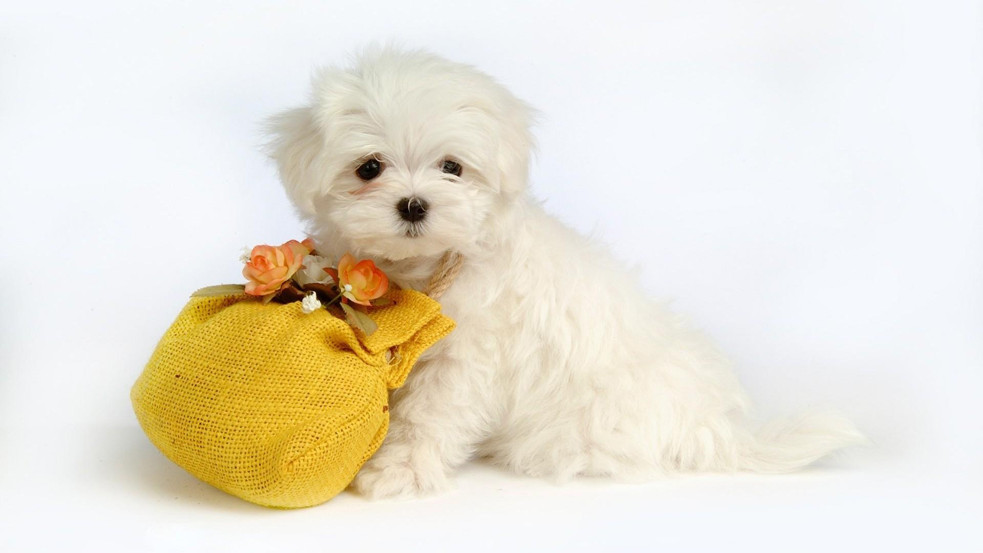 белые собаки щенки животные розовый фон  № 2918113  скачать