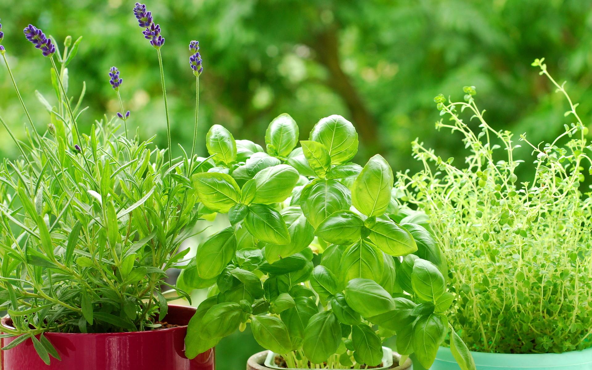 Ароматные травы в домашних условиях