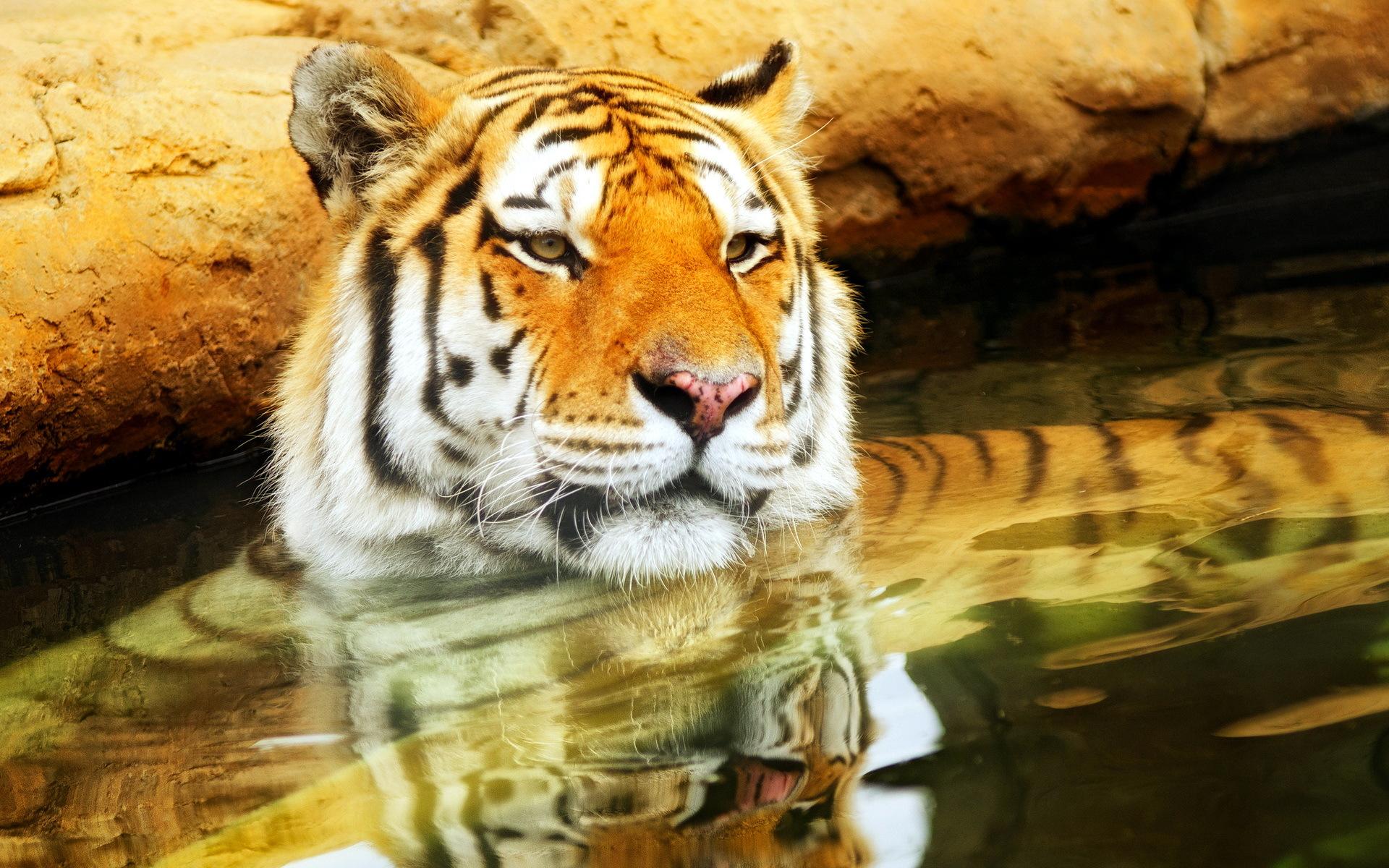 природа животные тигры  № 99271 бесплатно