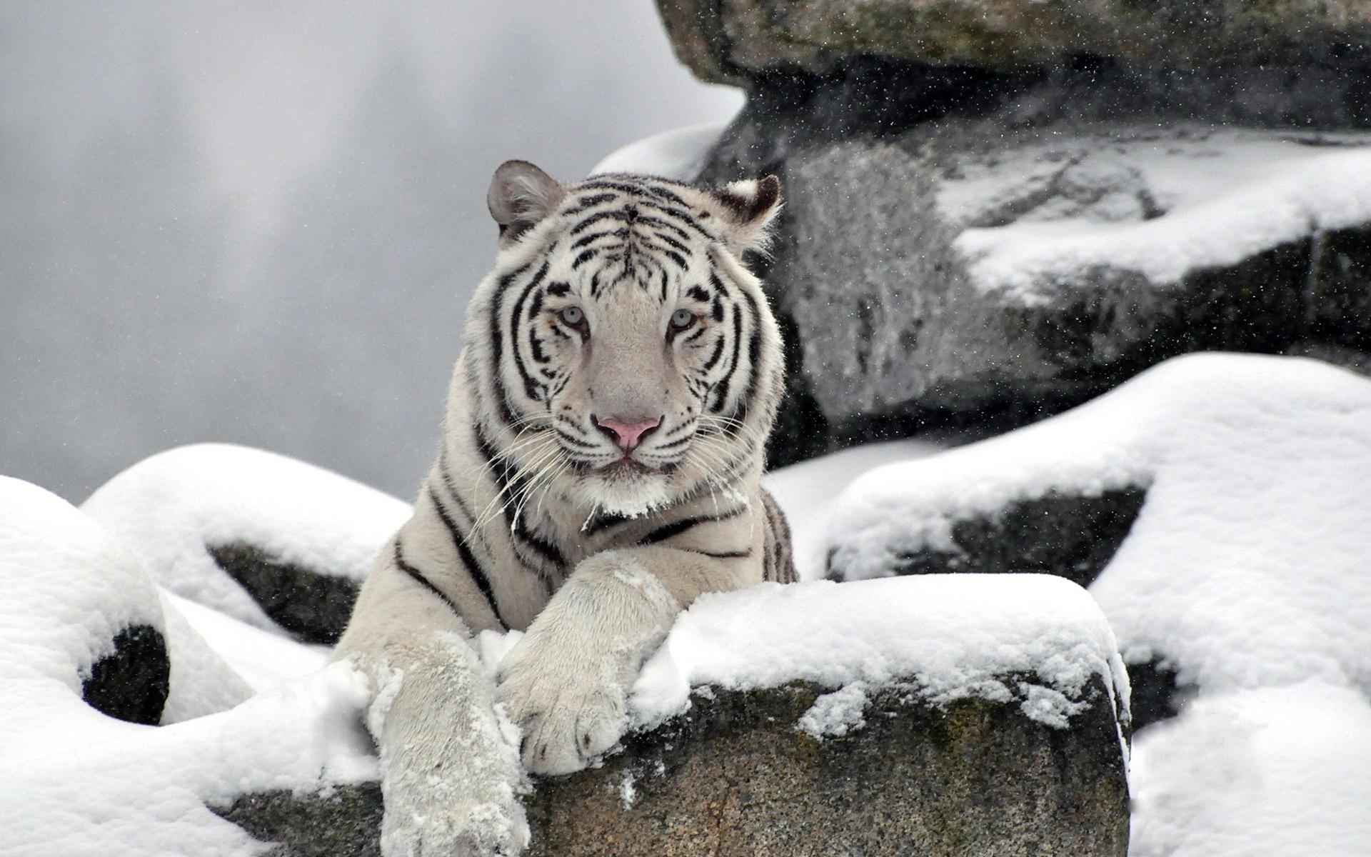 белый тигр на снегу  № 988795 бесплатно