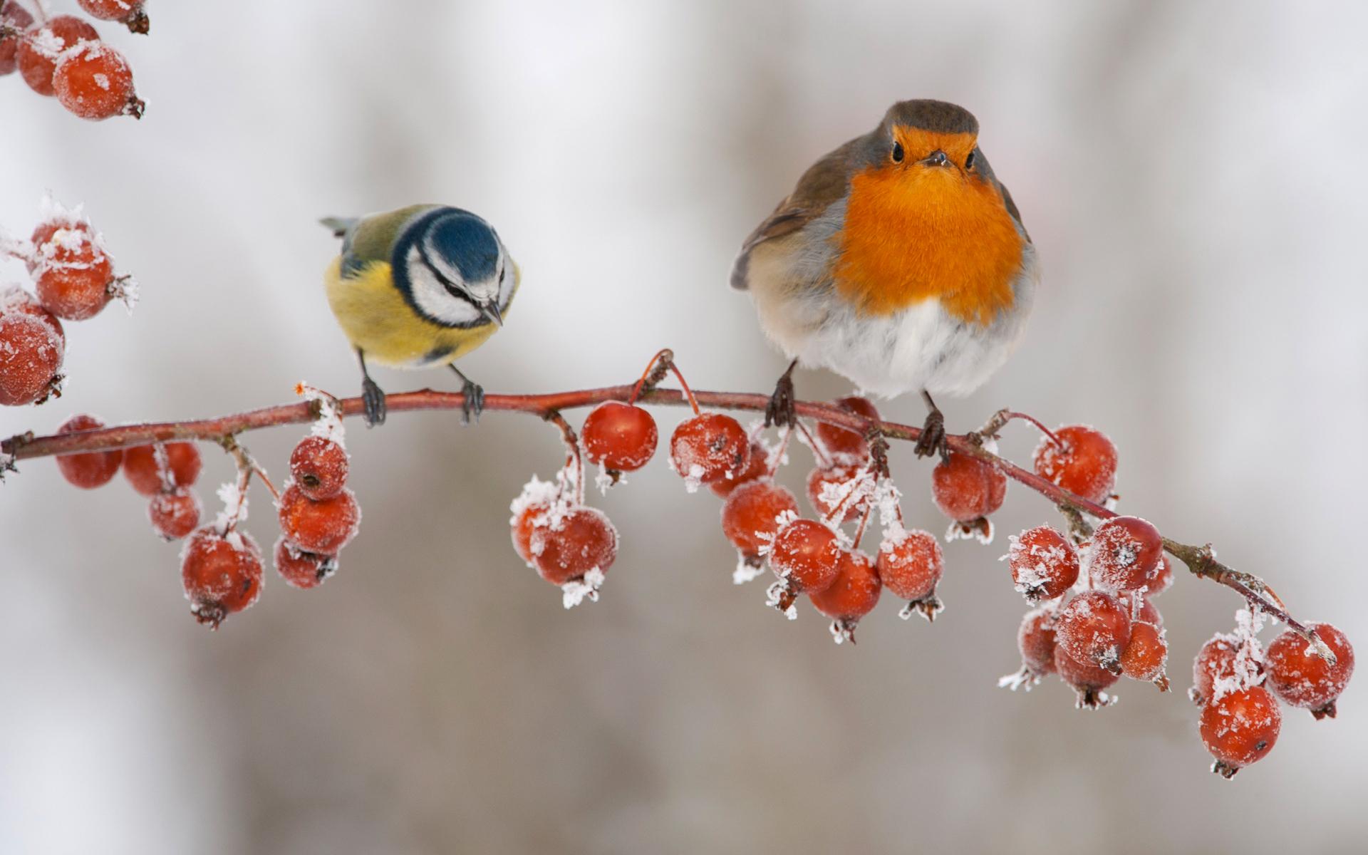 Обои на рабочий стол птицы синицы