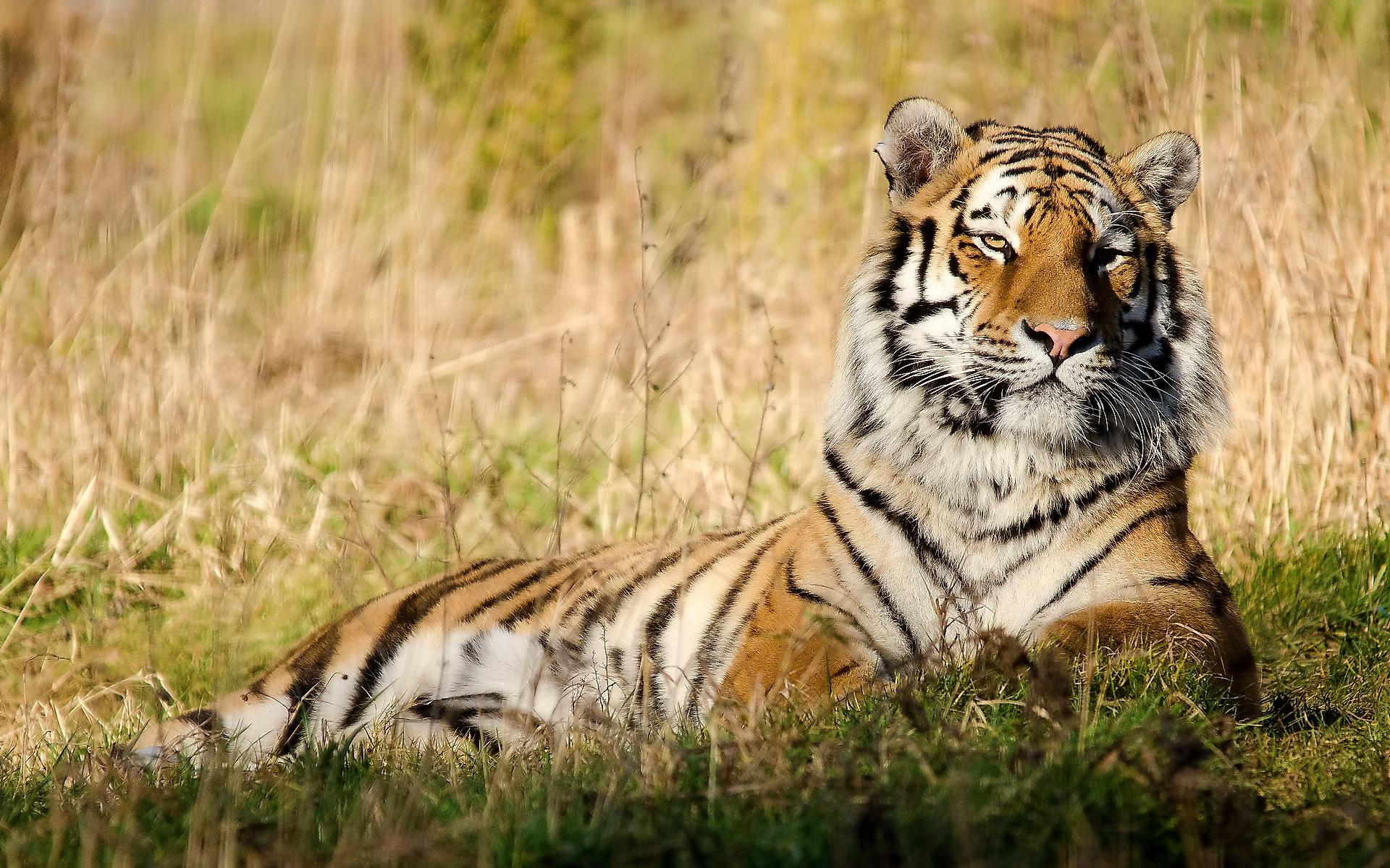 тигры трава природа  № 2011200  скачать