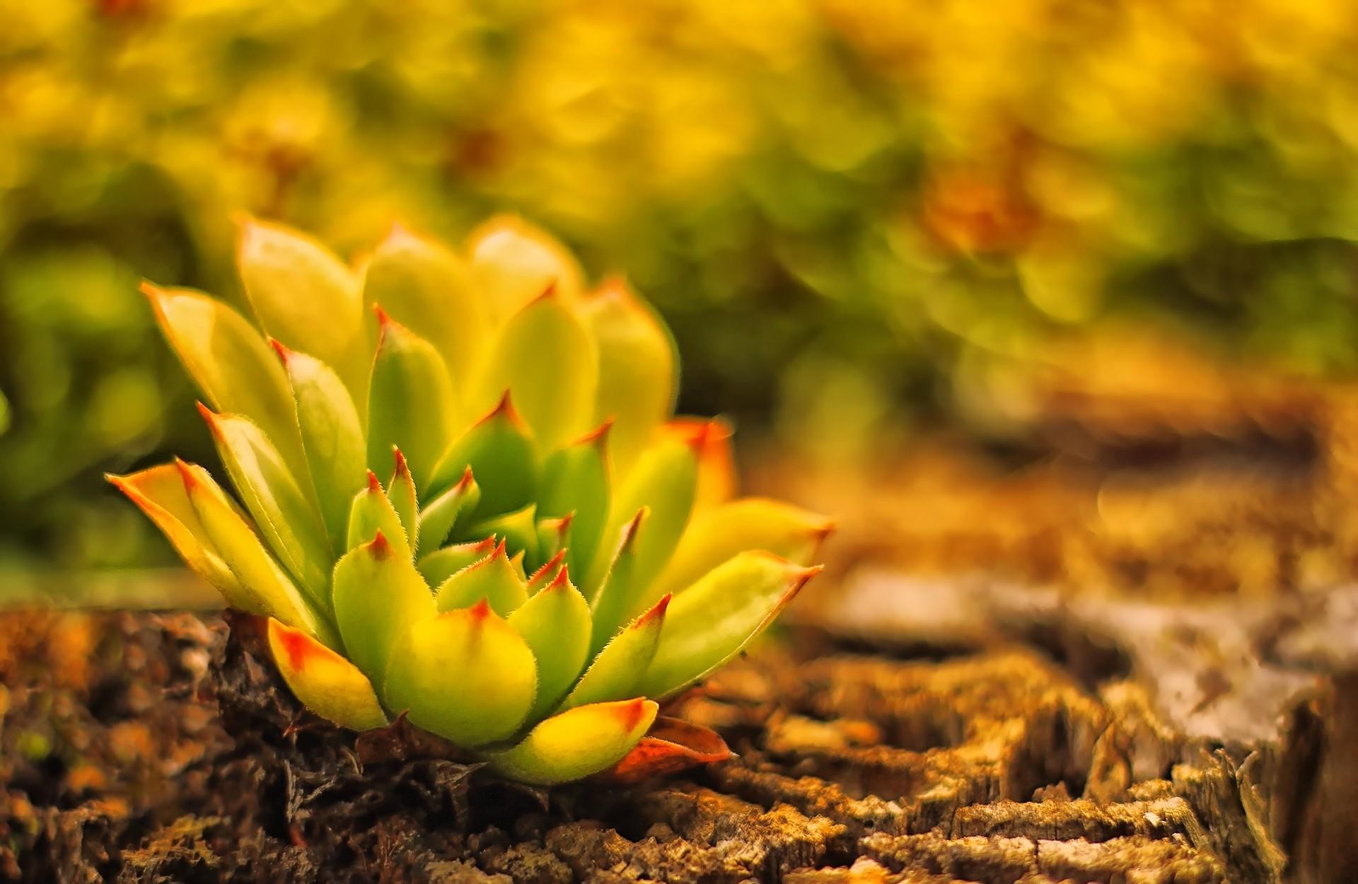 растение живучка