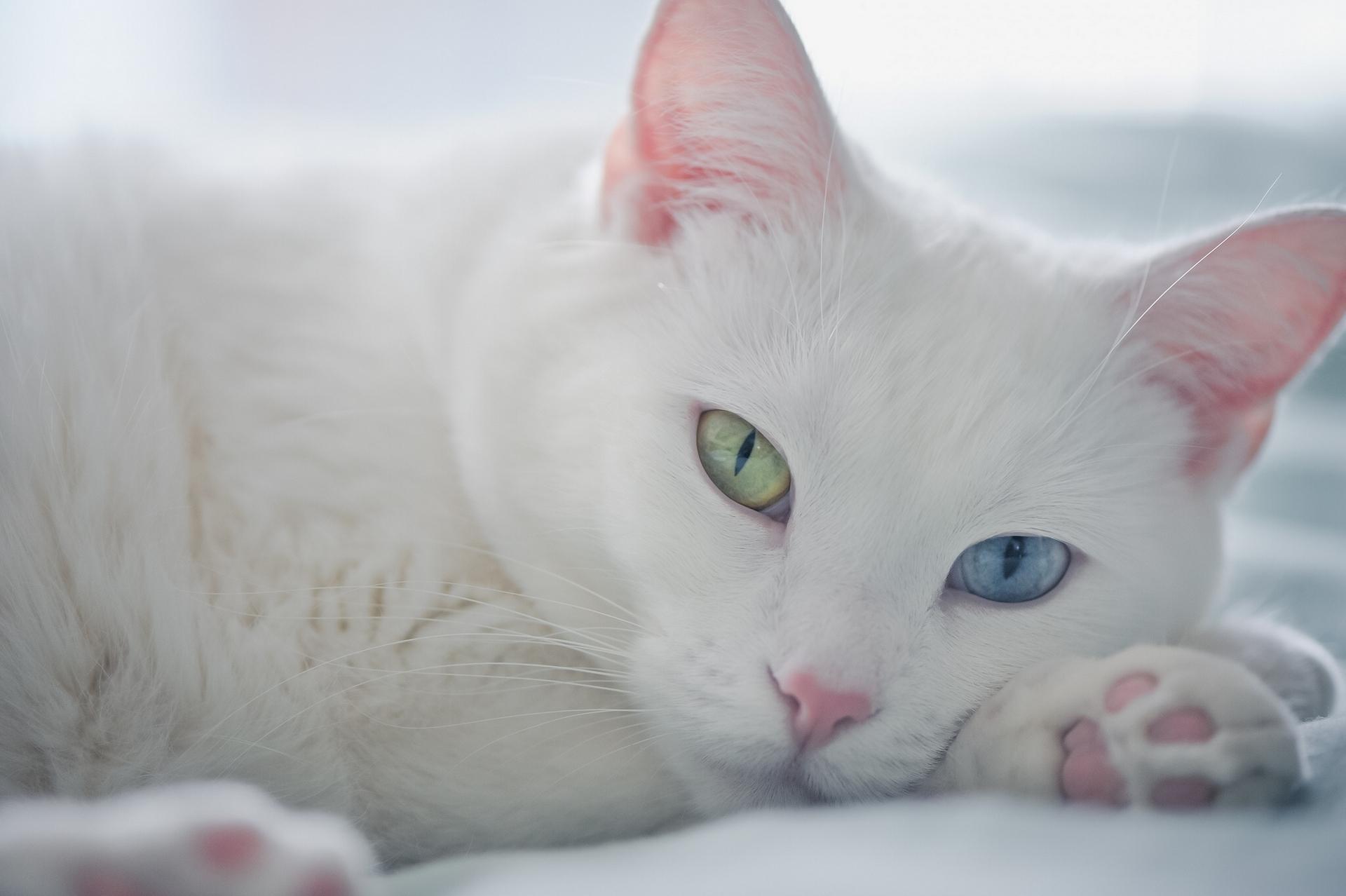 Белый кот разные глаза  № 2956425 без смс