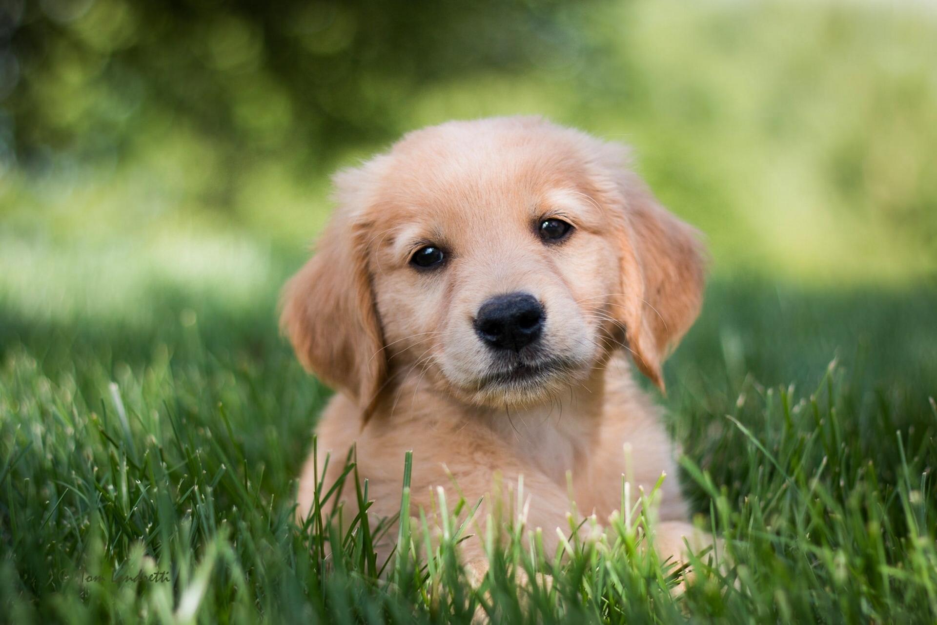 Кобры, картинки золотистый ретривер щенки