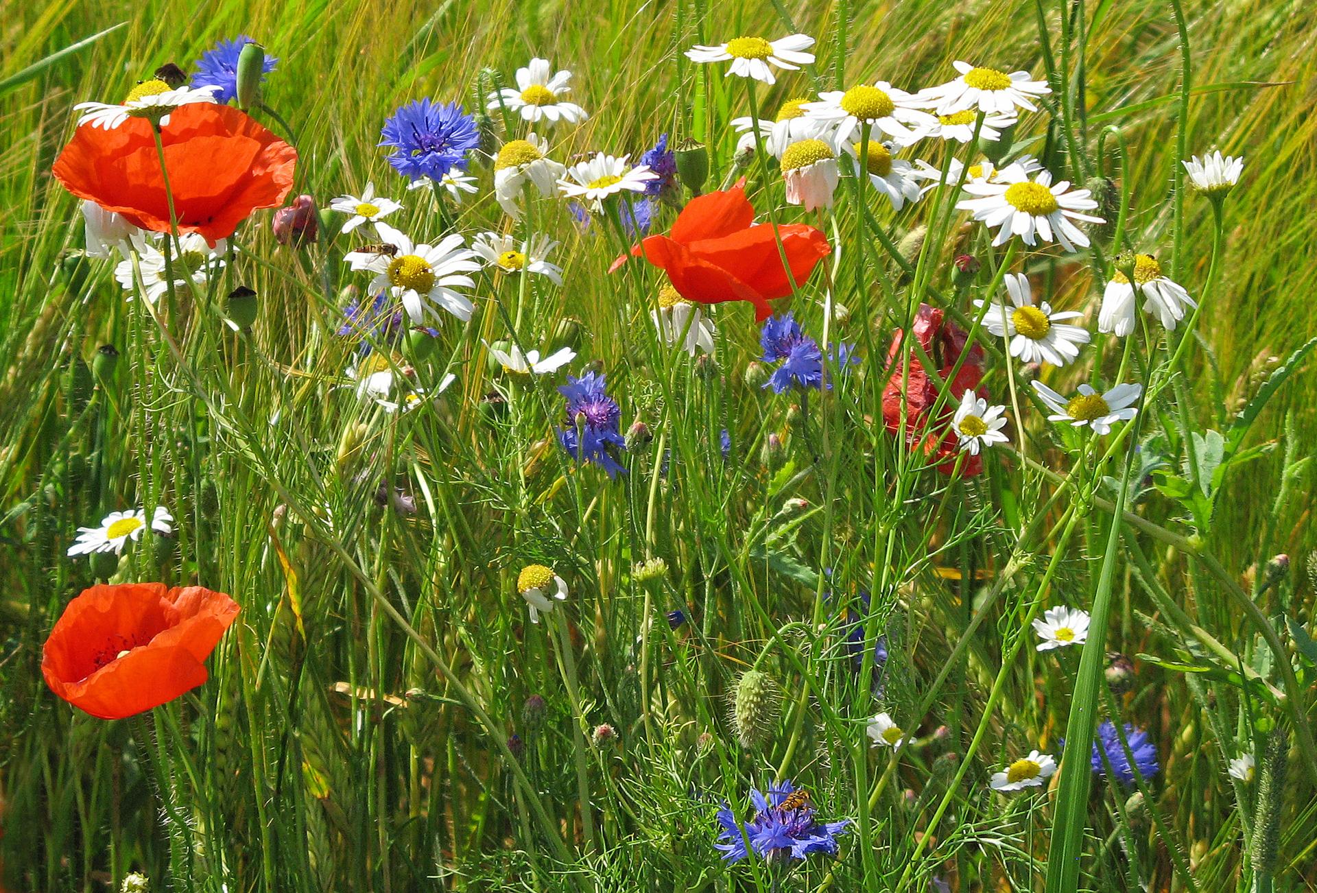 Для создания, цветы луговые картинки прикольные