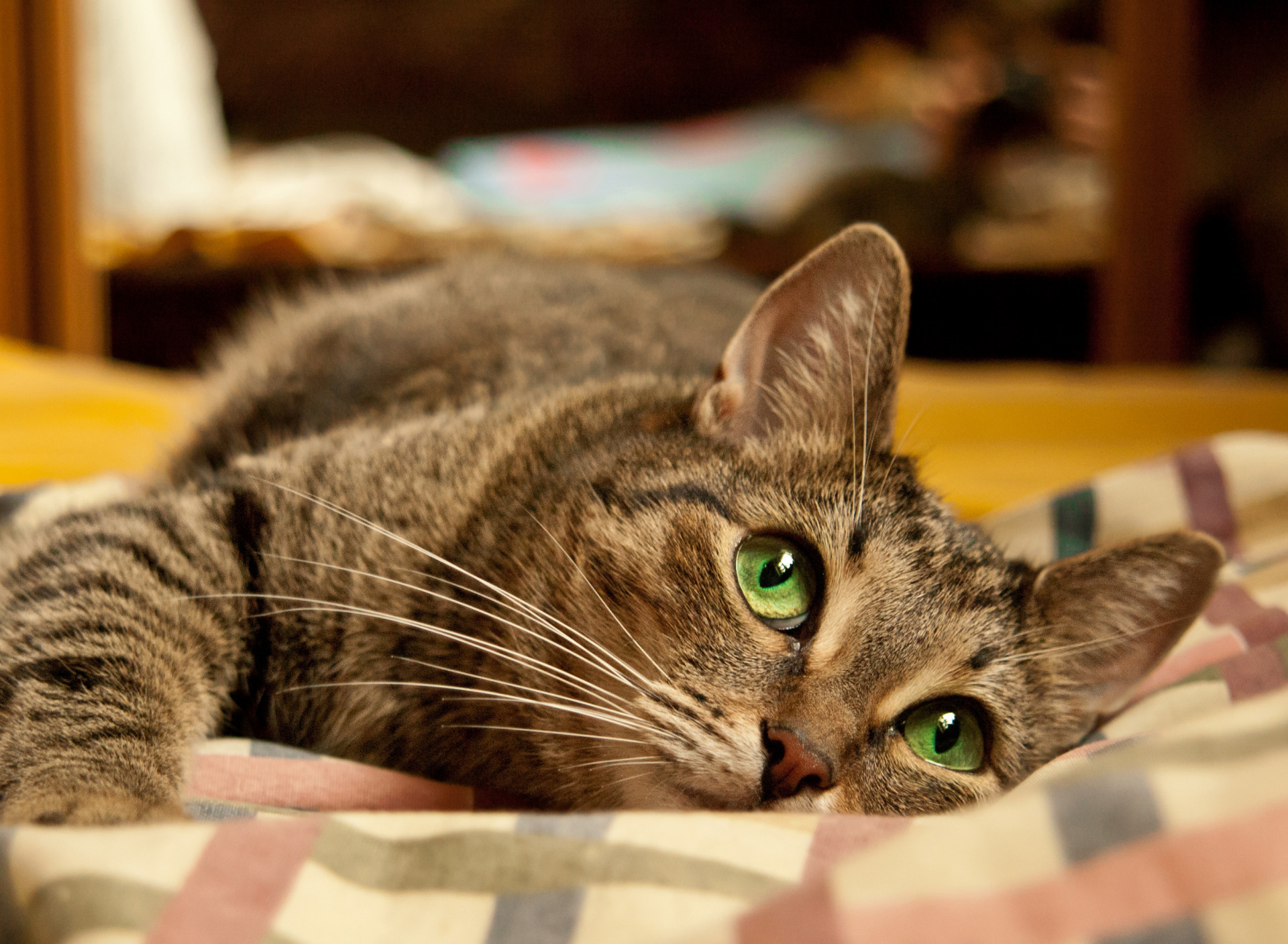 смешные домашние кошки картинки представляет собой