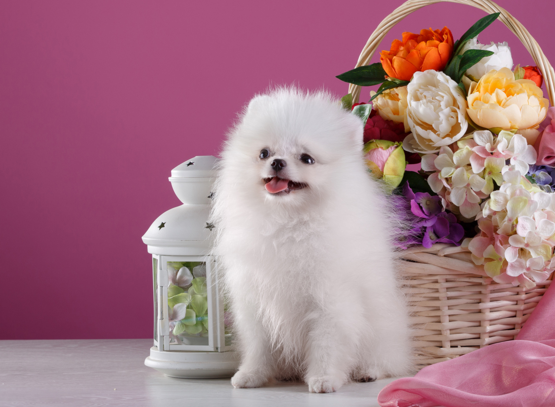Открытка с днем рождения с собакой шпиц, картинок