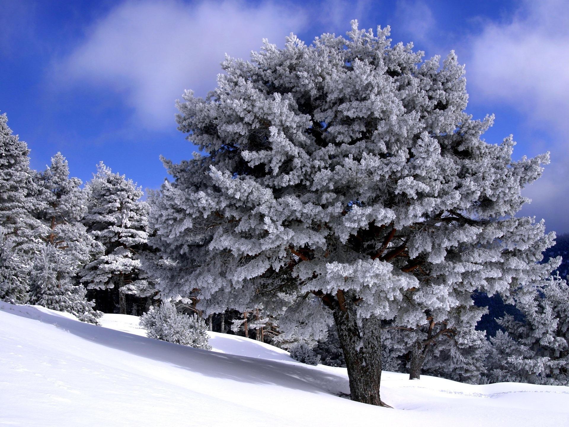 Деревья в инее  № 1191676 без смс
