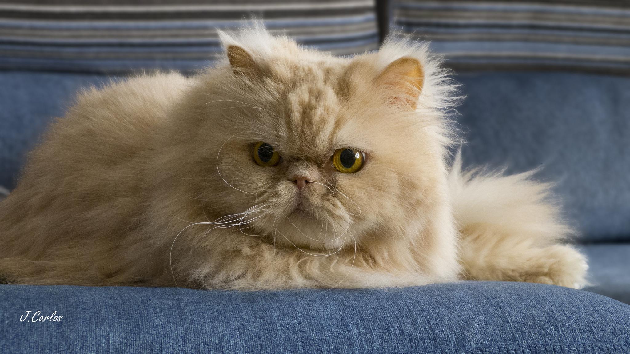 Сергей, персидский кот в картинках