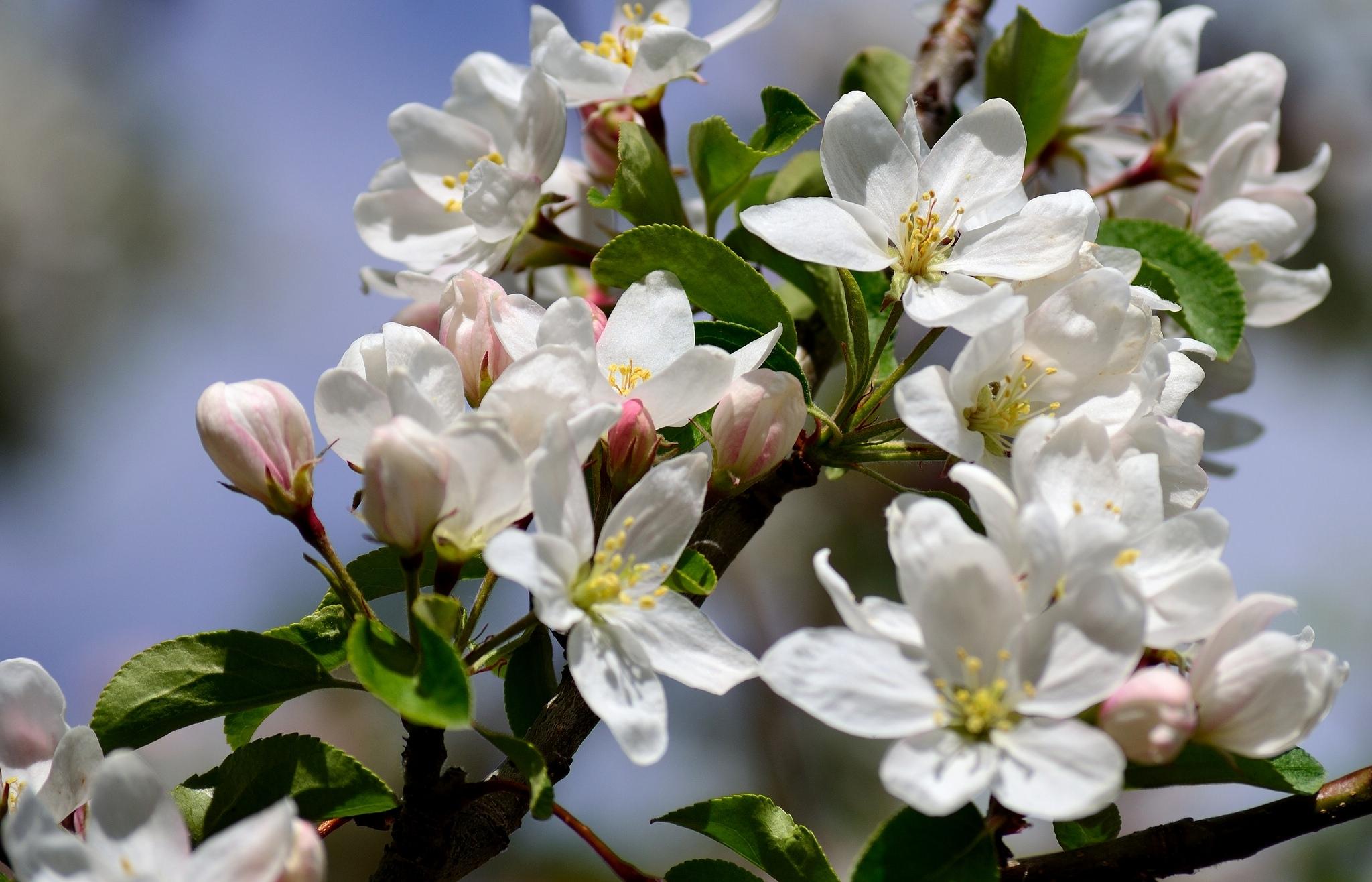 хоть картинка на рабочий стол цветение яблони может птица