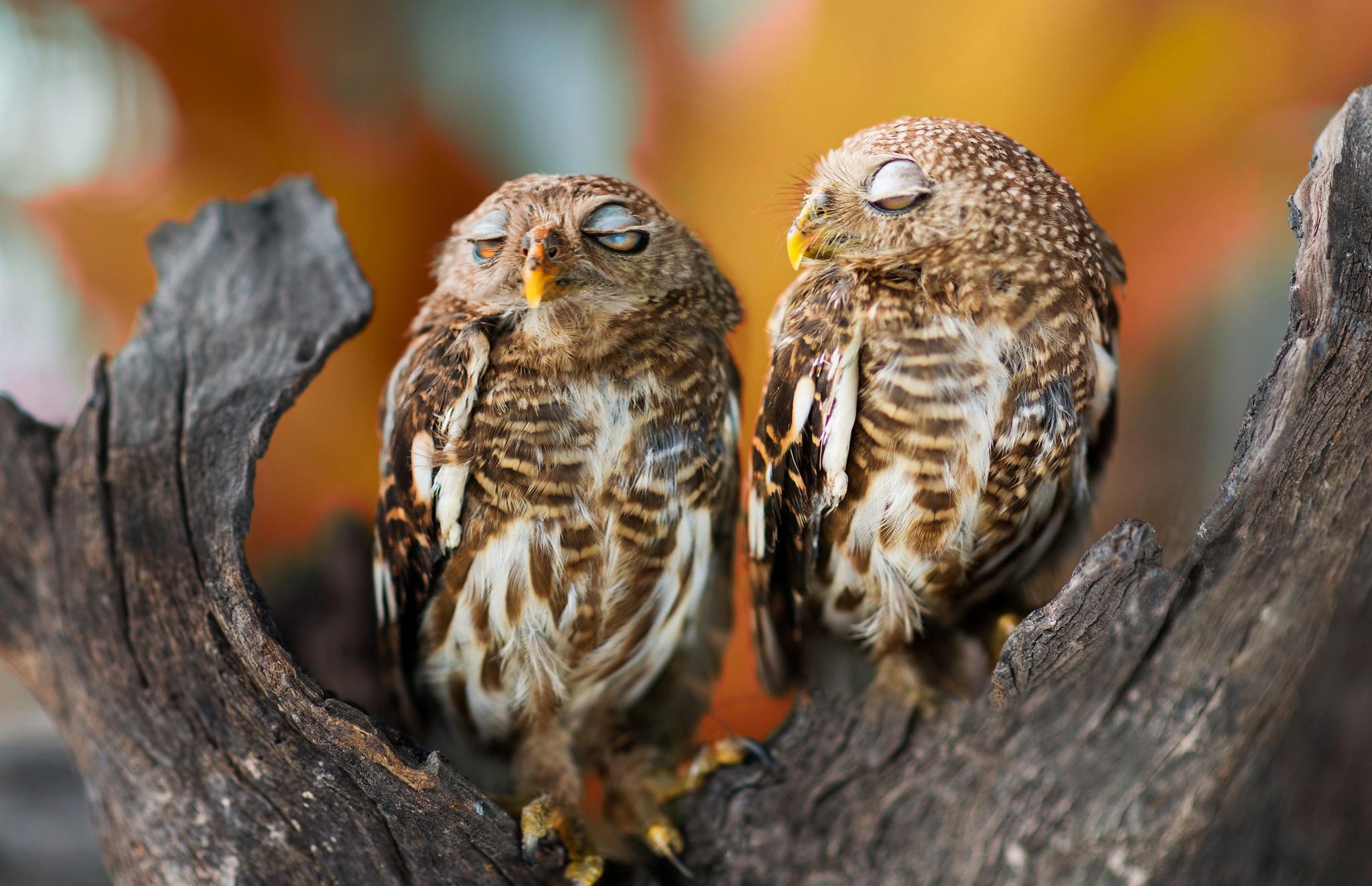 переодически нужно фото сонной совы намного удешевляет
