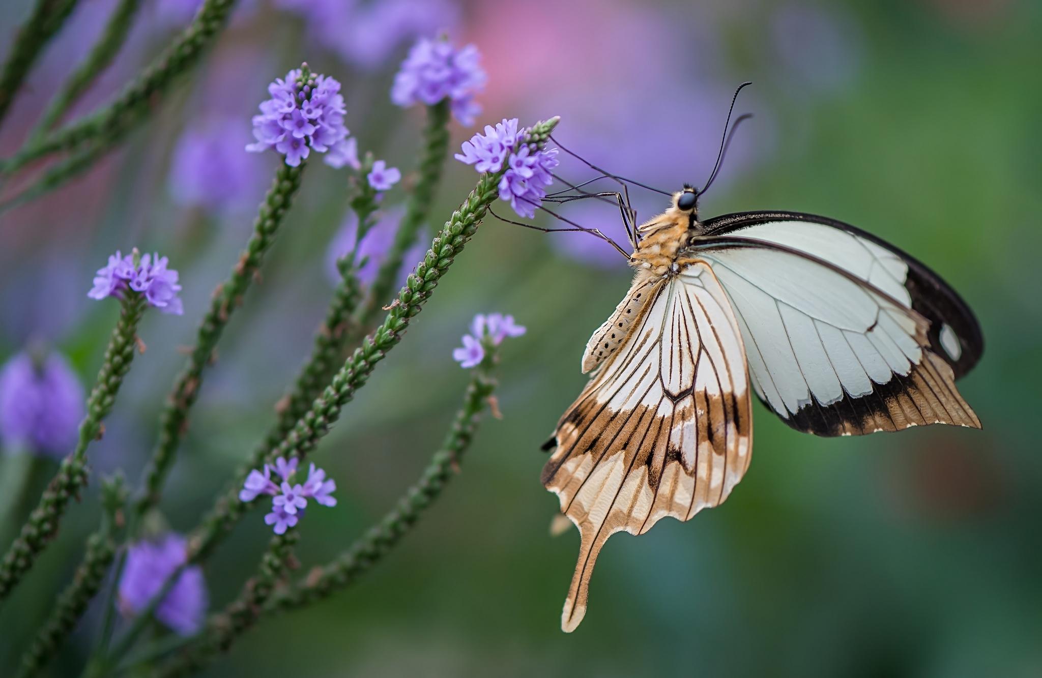 Обои для рабочего стола бабочка махаон