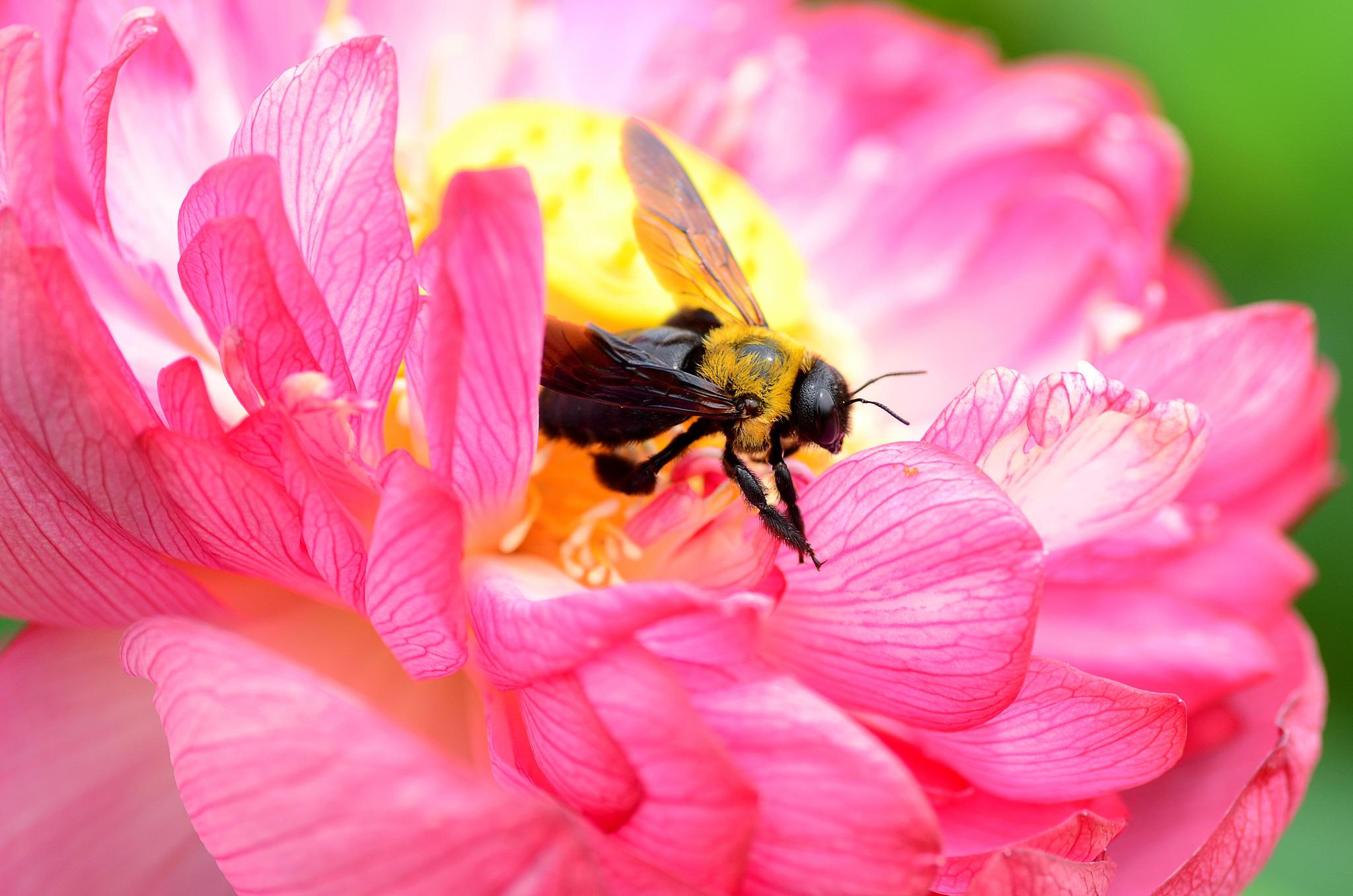 пчела цветы розовые flowers pink bee  № 910755  скачать