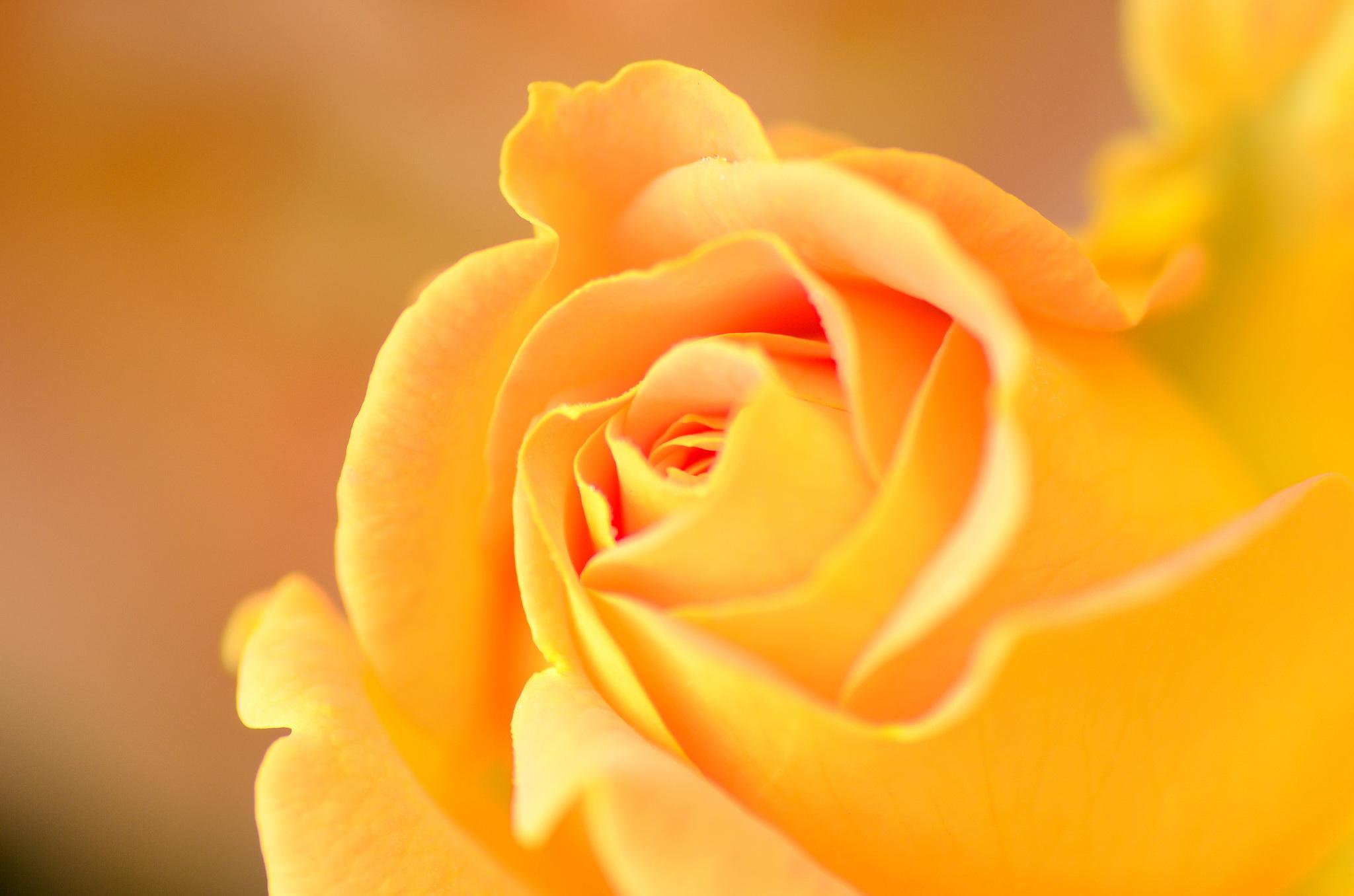 Обои для рабочего стола оранжевая роза