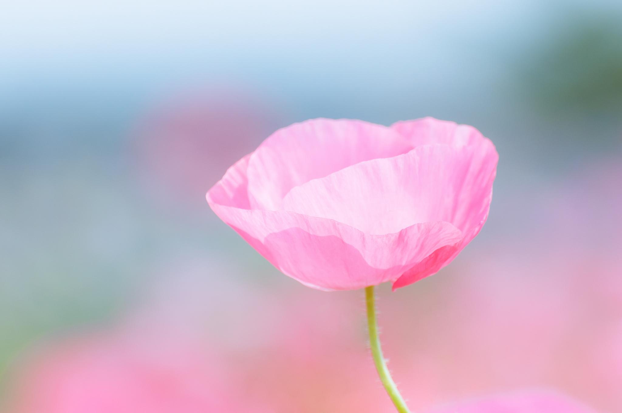 цветы макро розовые  № 1347145 без смс