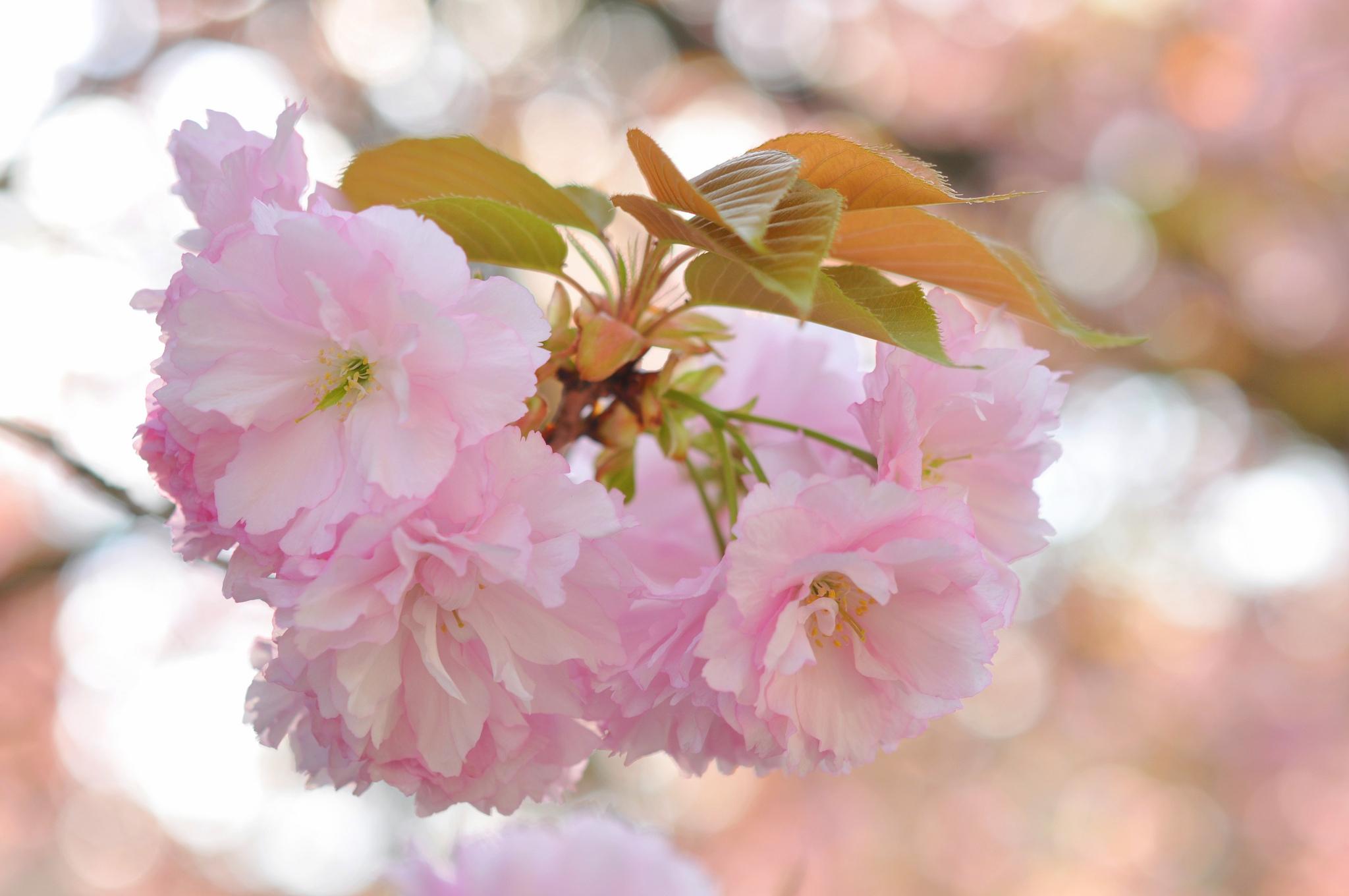 нежные цветочки на ветке  № 1333946 загрузить