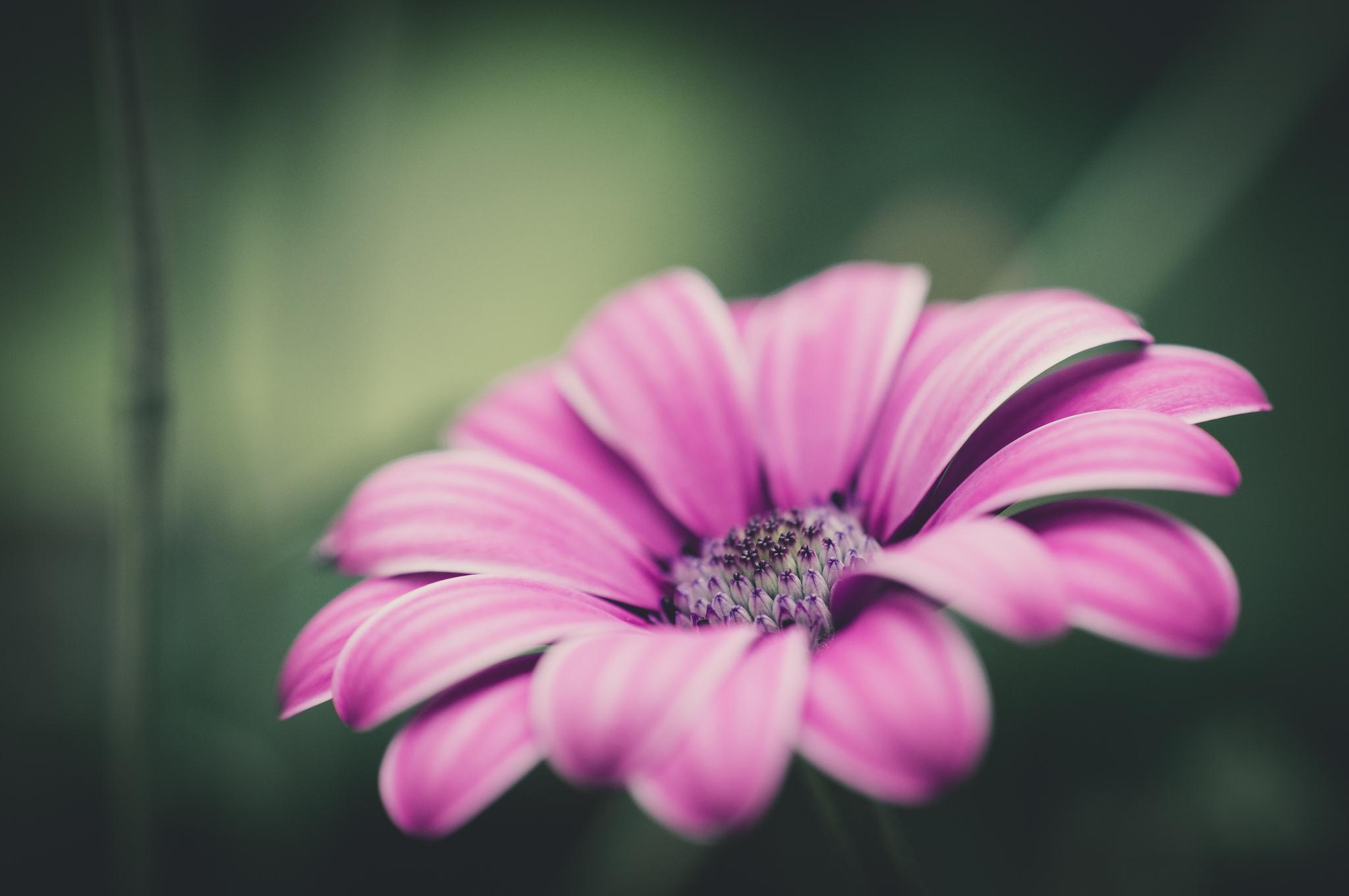 цветы макро розовые  № 1347133 загрузить