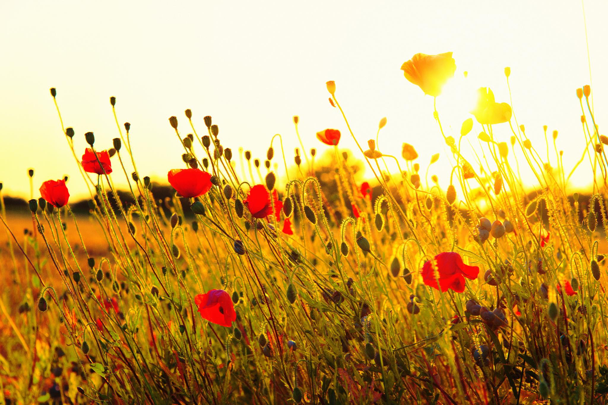 природа цветы трава мельниц восход солнце  № 2556659 загрузить