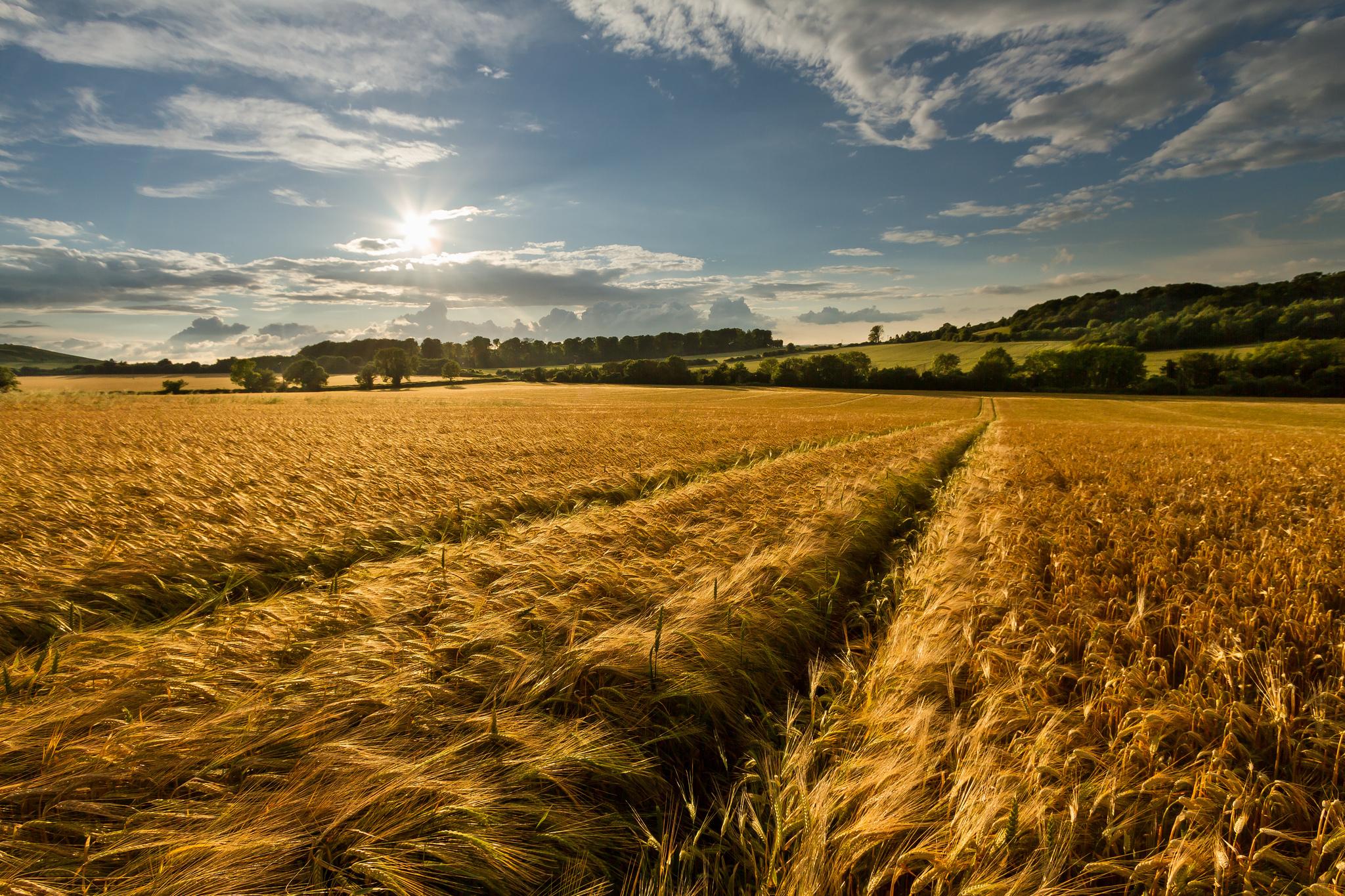 Картинки лето поле пшеницы, картинки