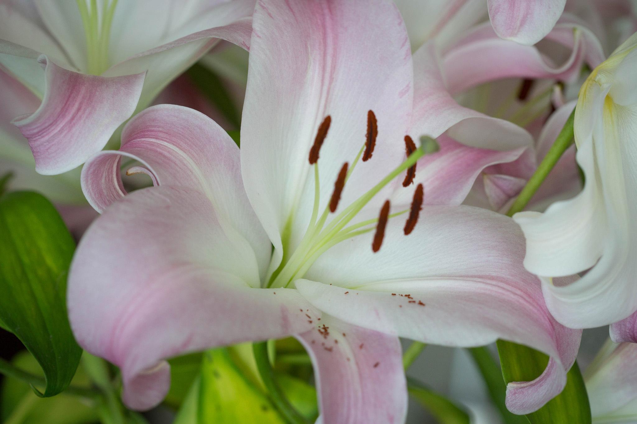 нежно розовая лилия фото поздравляем