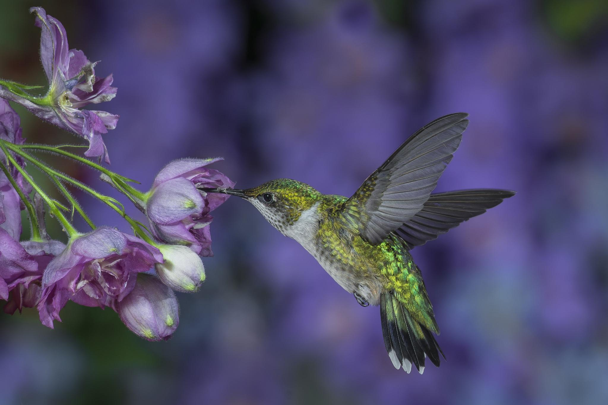 птица природа ветка колибри  № 1994327 загрузить