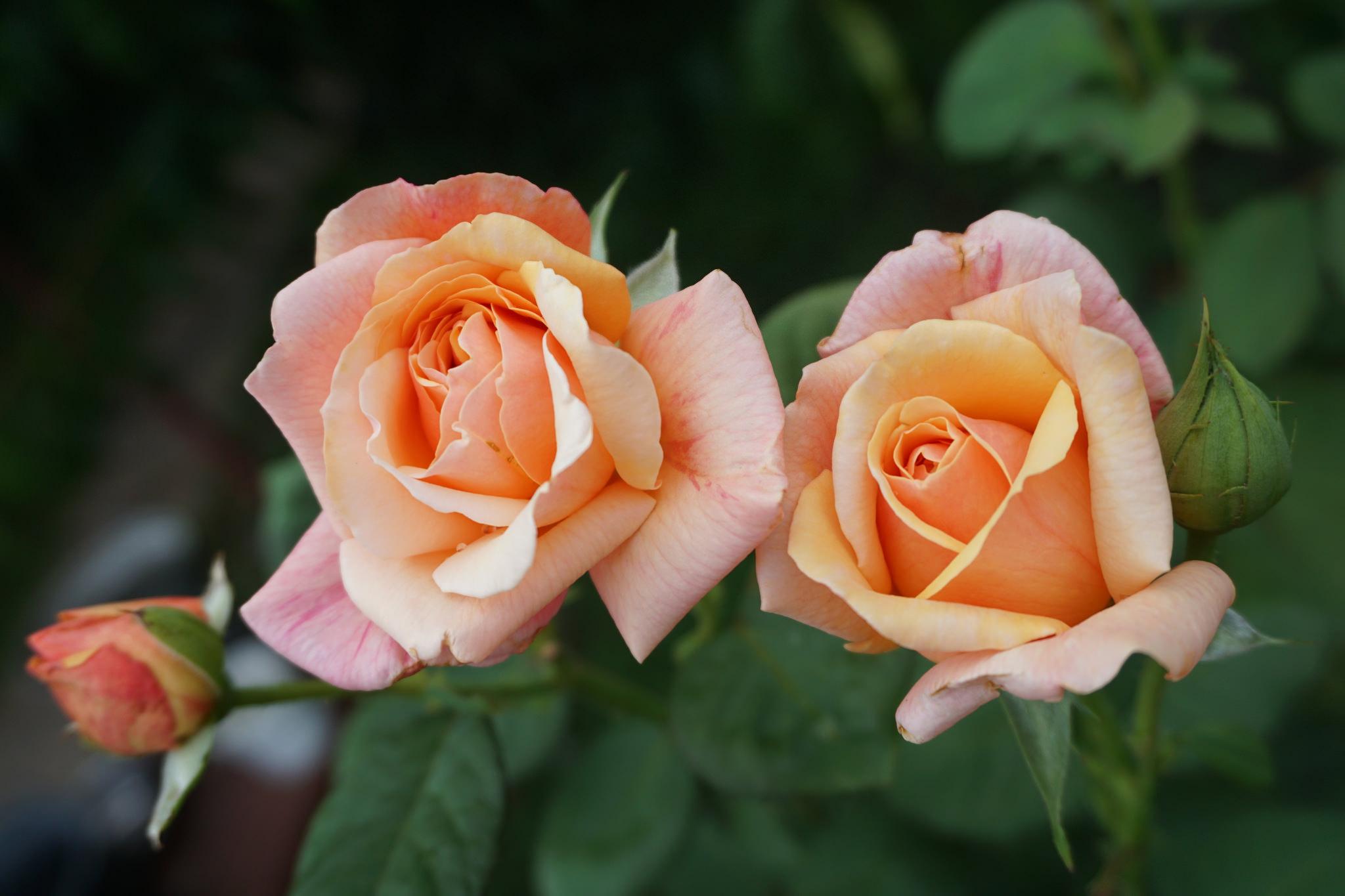 попавший самые красивые розы двух цветов в картинках сам
