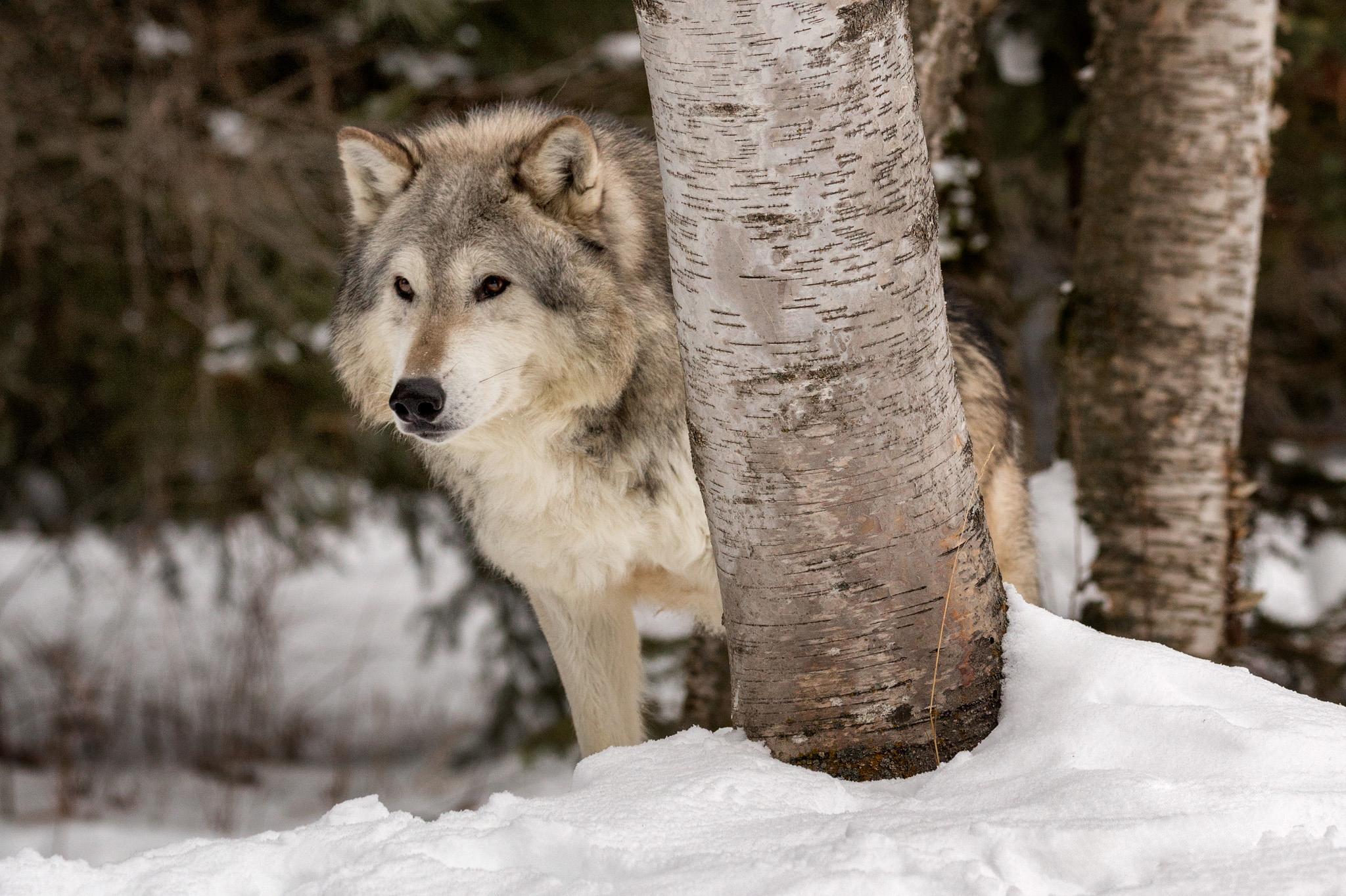 лазурный берег волк в зимнем лесу фото листе бумаги