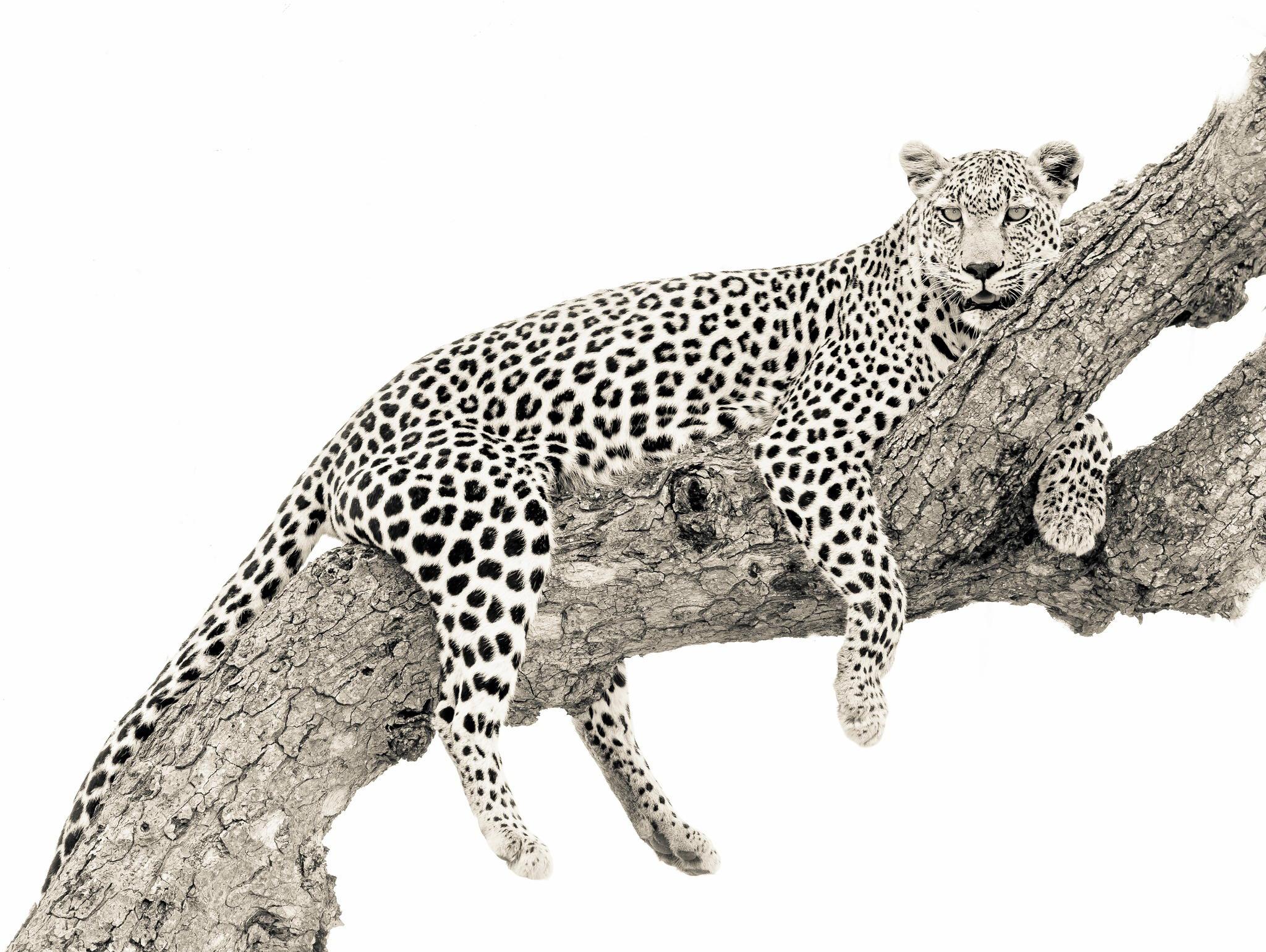 себе объяснение, картинка ягуар на белом фоне ожидать