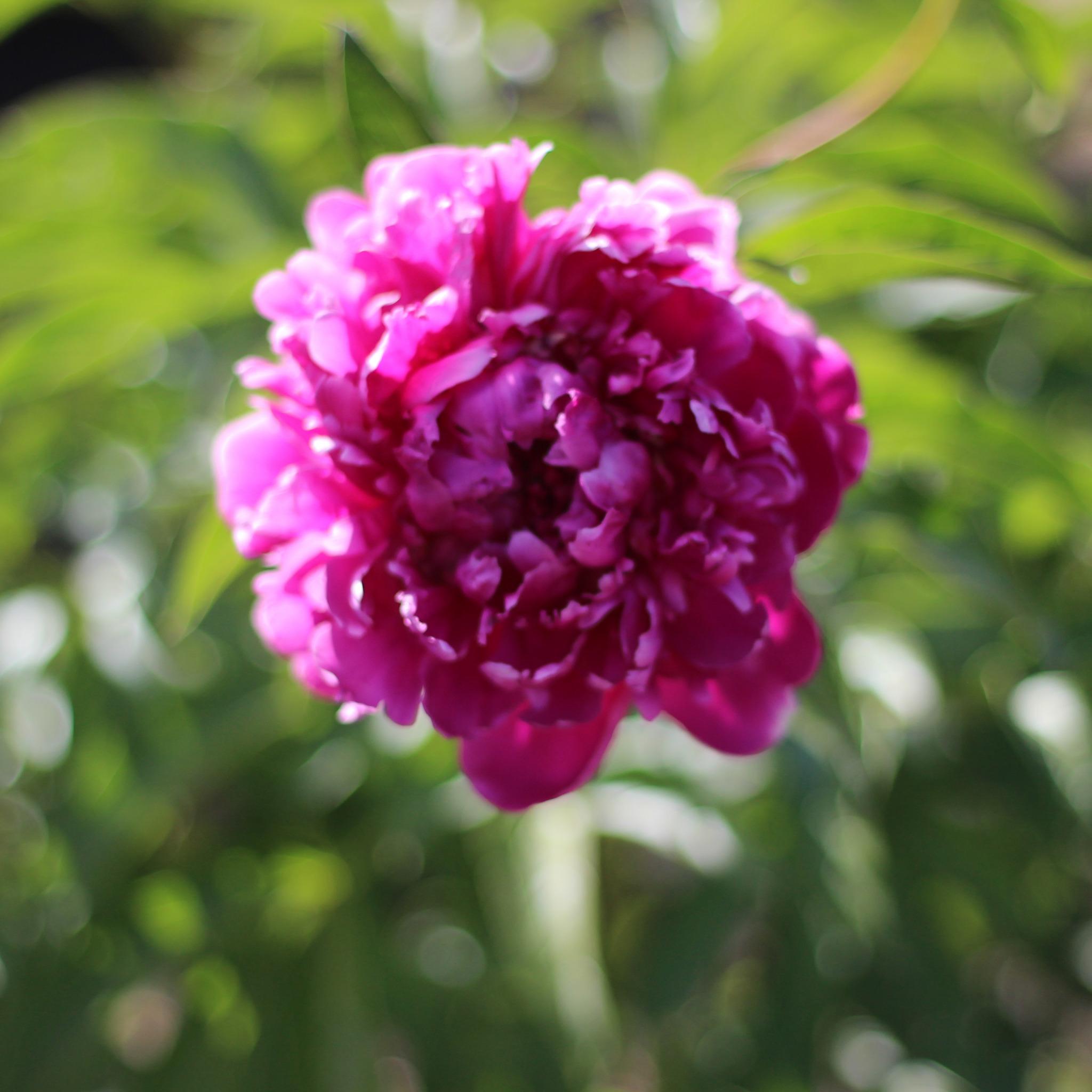 Днем, картинки дождь и цветы пионы