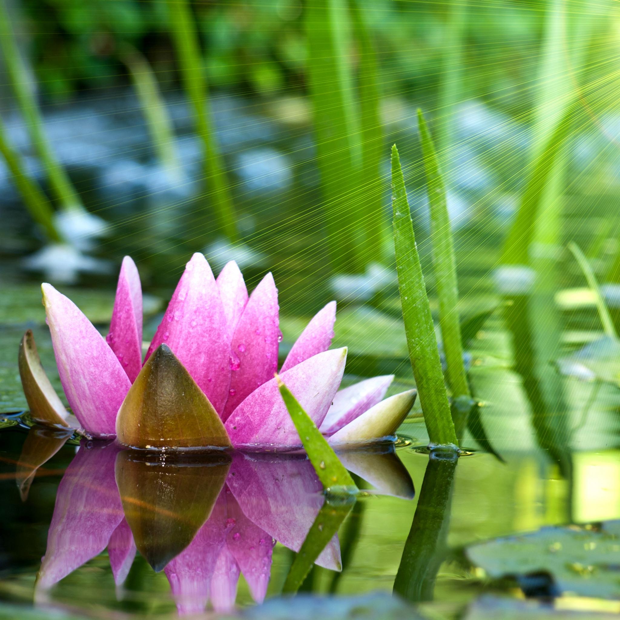 лилии озеро отражение  № 3274782 бесплатно