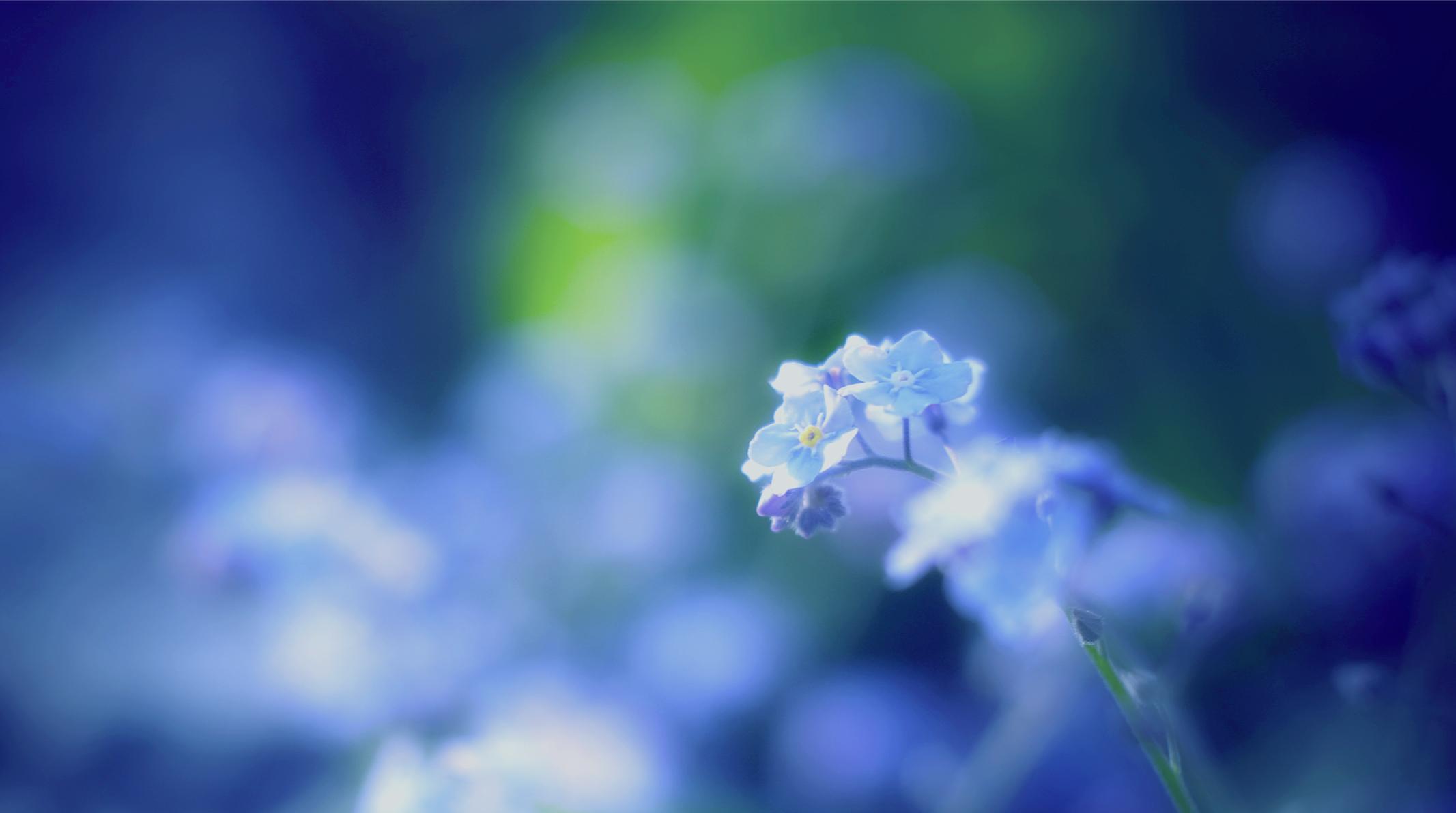 синие цветы незабудки крупный план роса  № 2779665  скачать