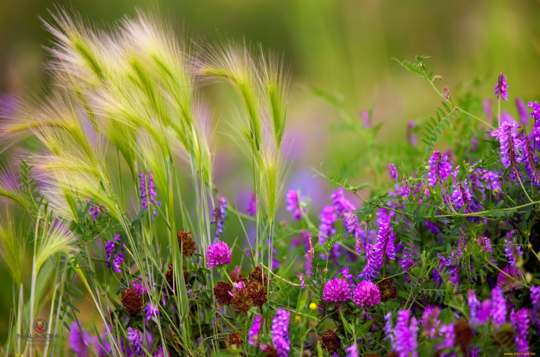 Цветы клевер  № 1341290 без смс
