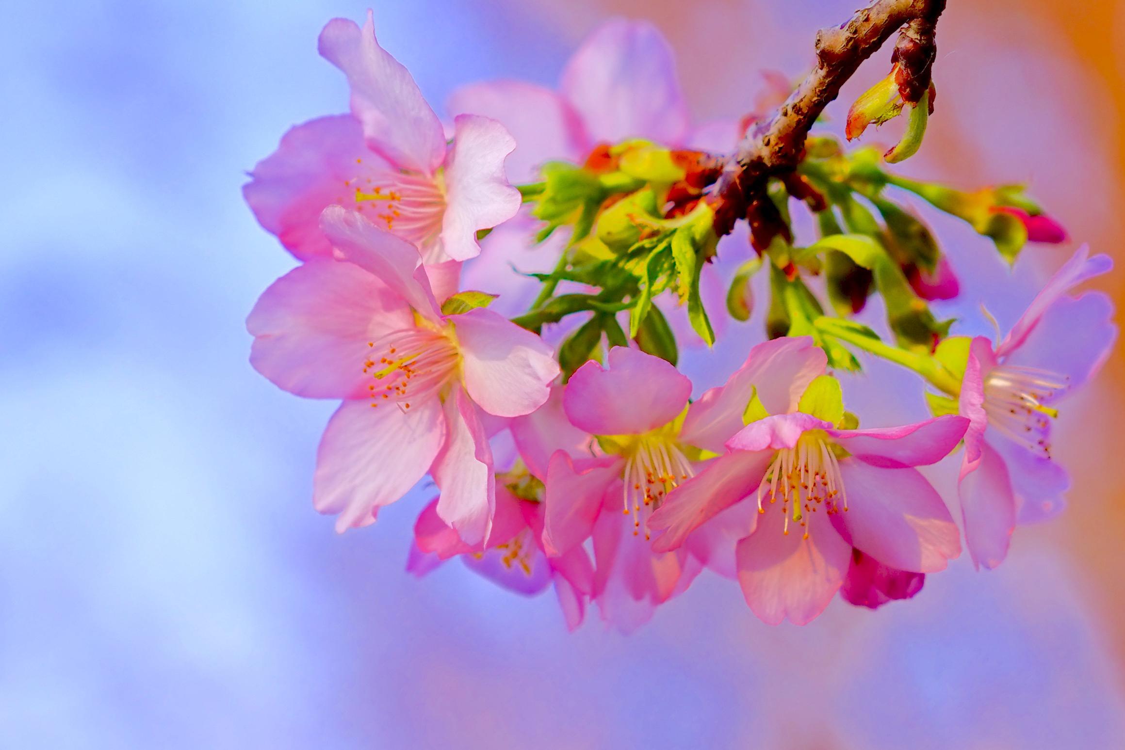 вишня цветение  № 2767158 загрузить