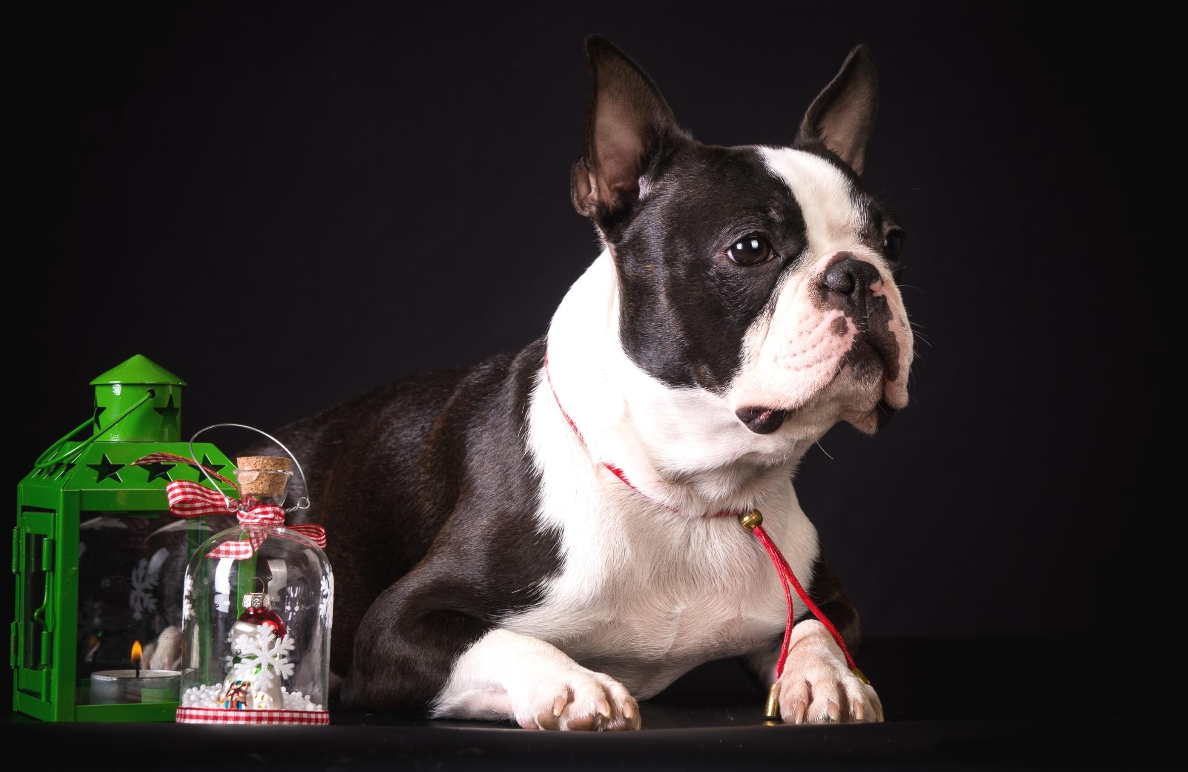 Собака животное французский бульдог  № 2228275 загрузить