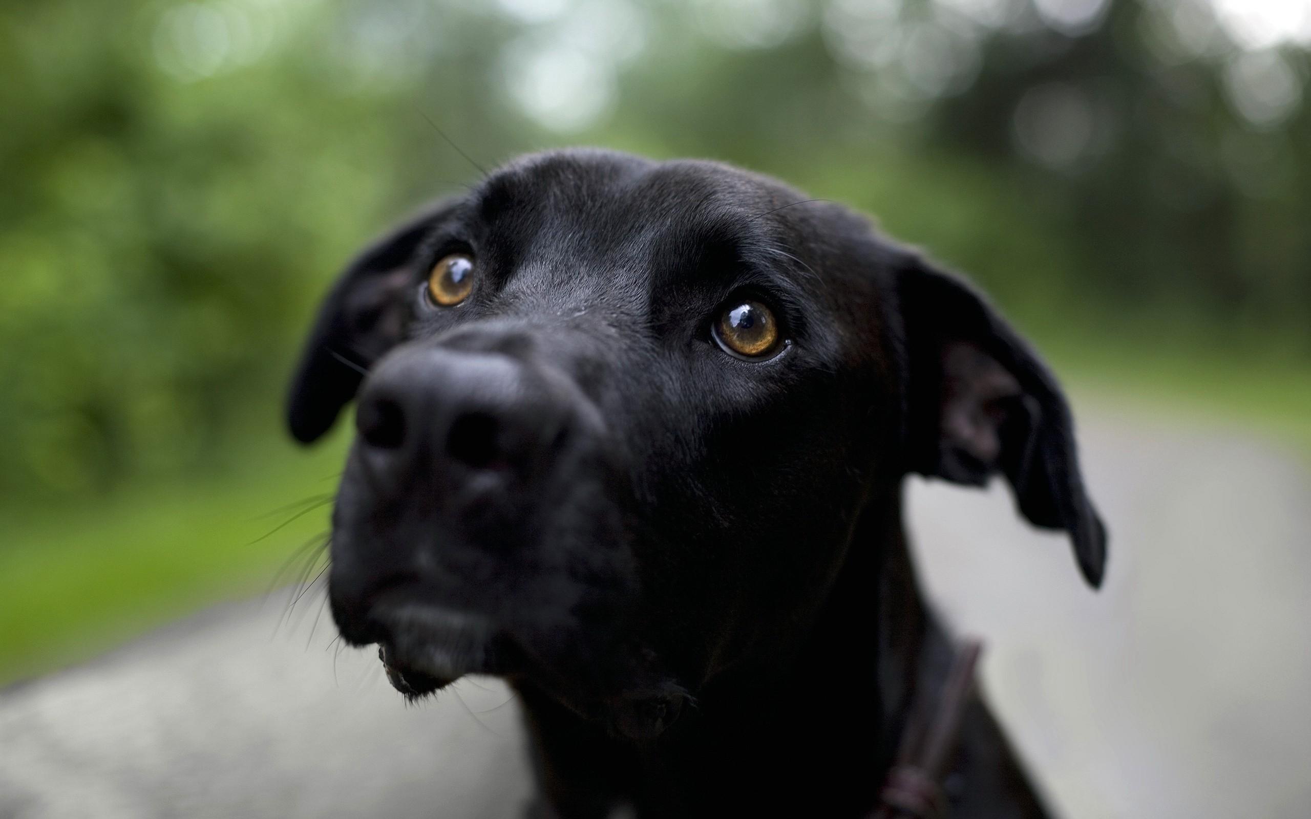 Пёс черный взгляд  № 1127398 загрузить