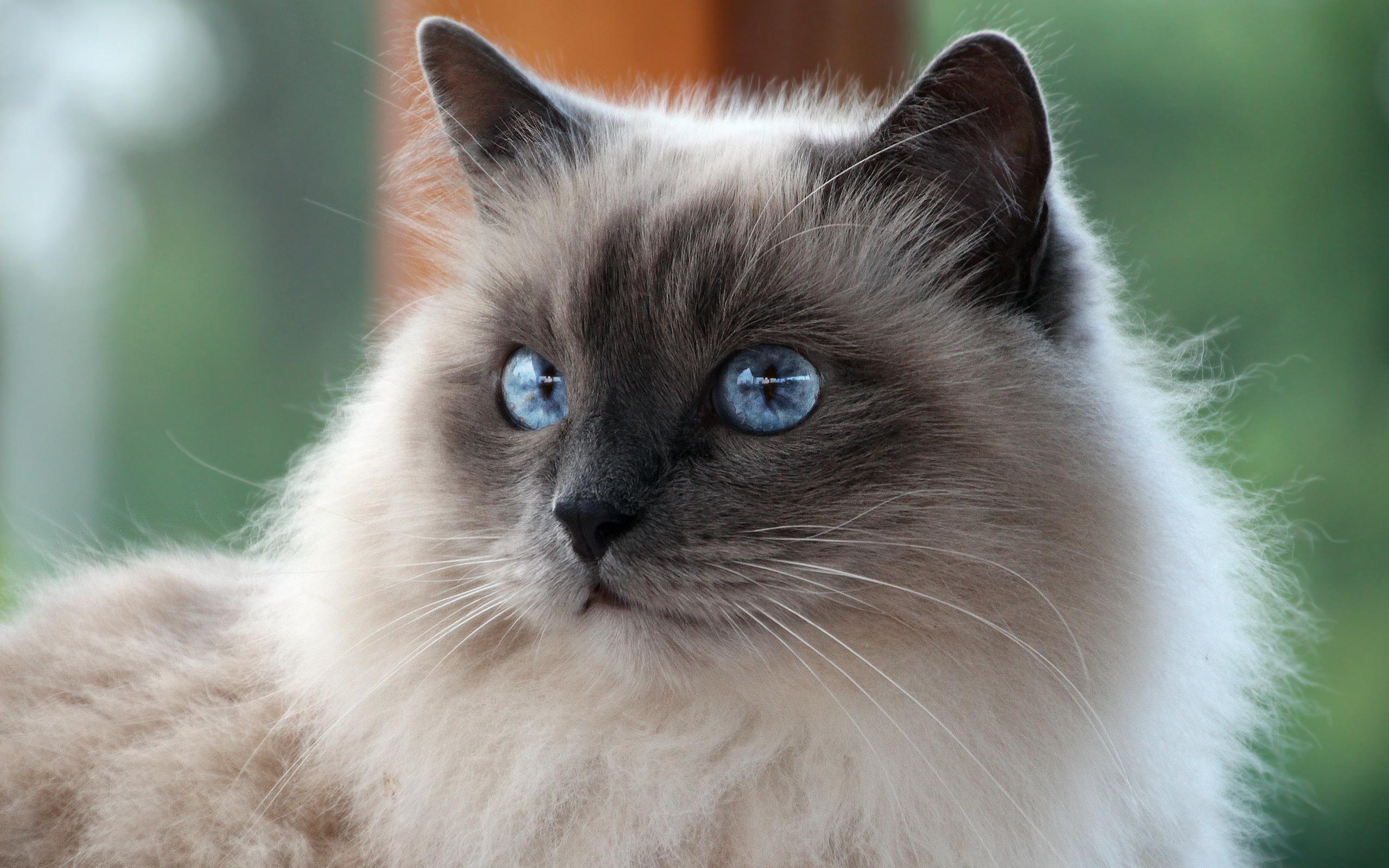 коты сибирская бирма хэкман
